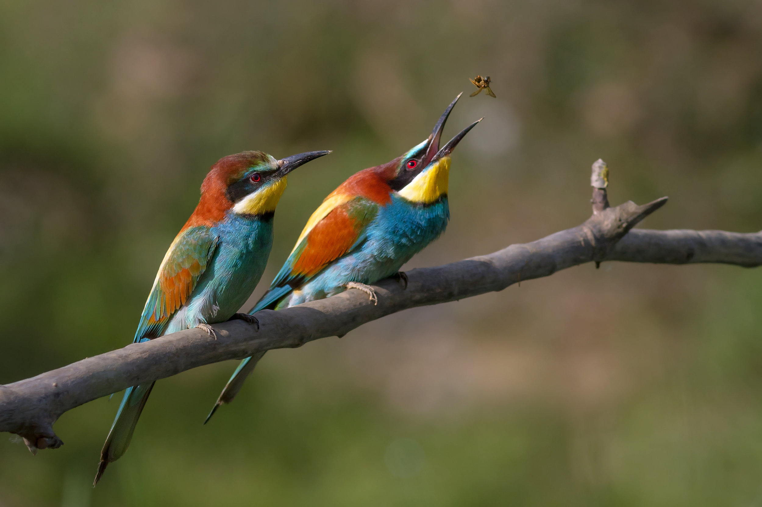 Insects Pair_of_Merops_apiaster_feeding.jpg