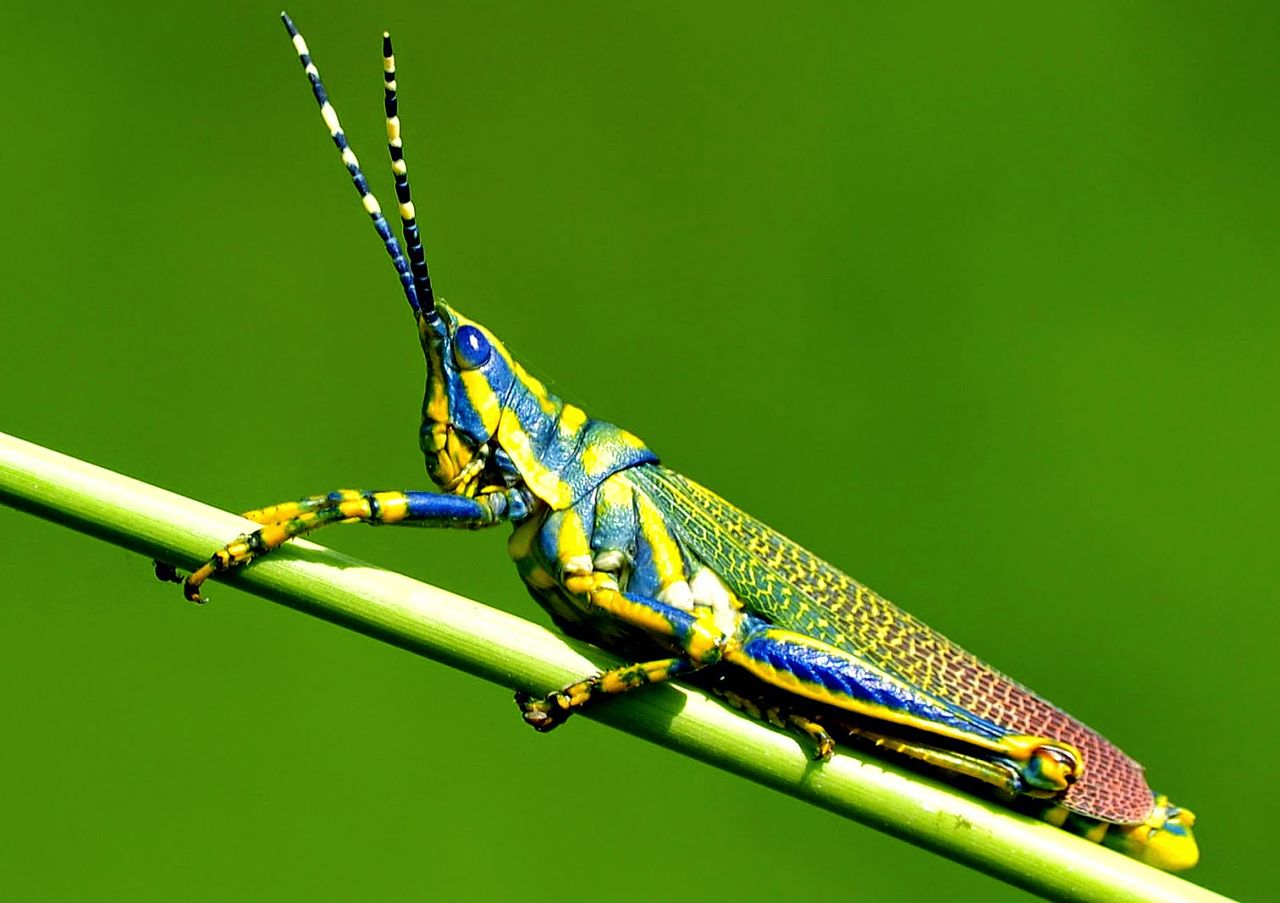 Insects Painted_grasshopper_macro_photography.jpg