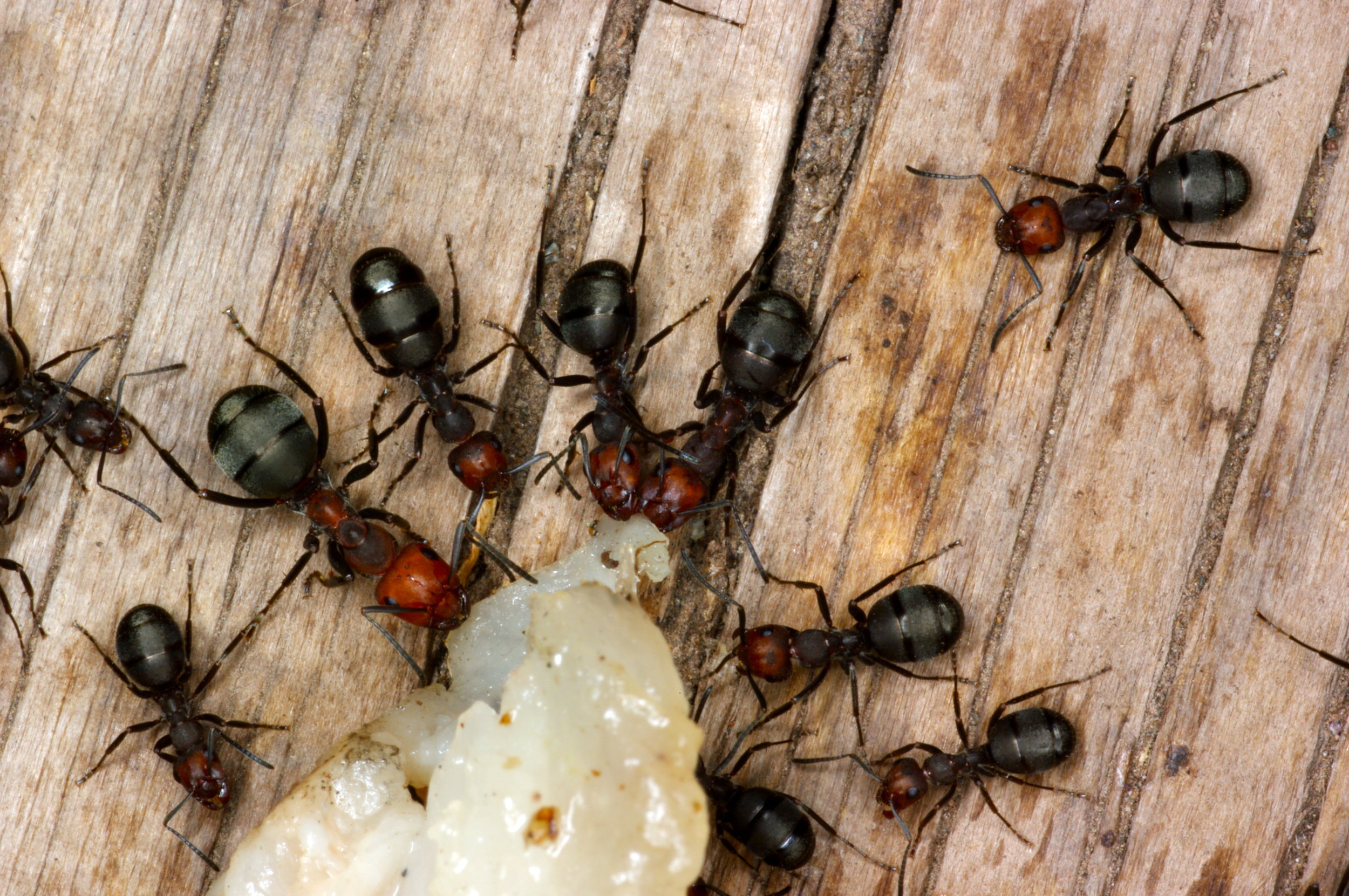 insects Red_Ants.JPG
