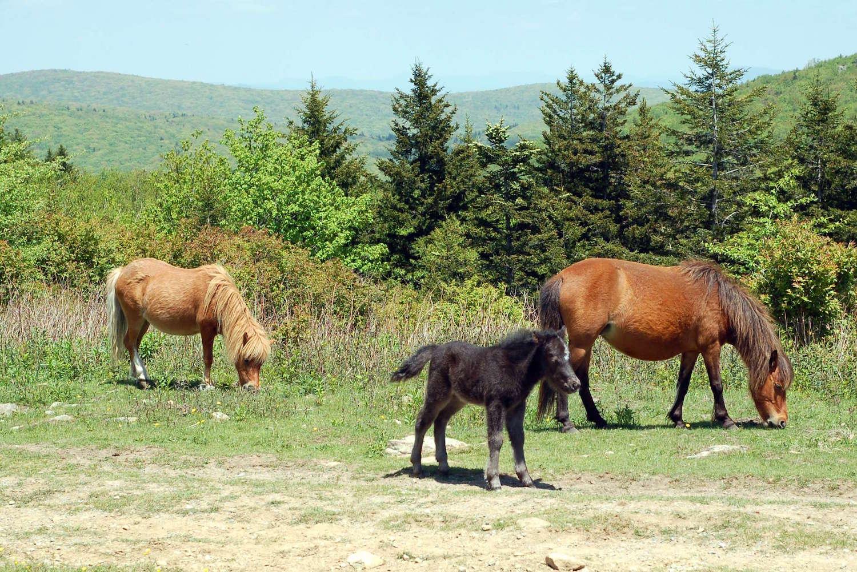 poniesgrazing.JPG