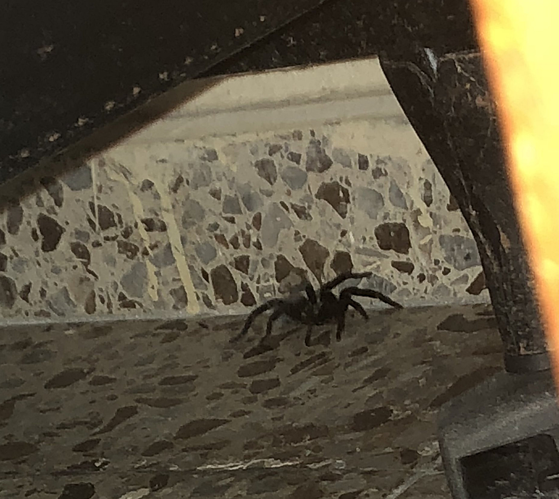 Our tarantula after he escaped the shoe and ran under the bed.