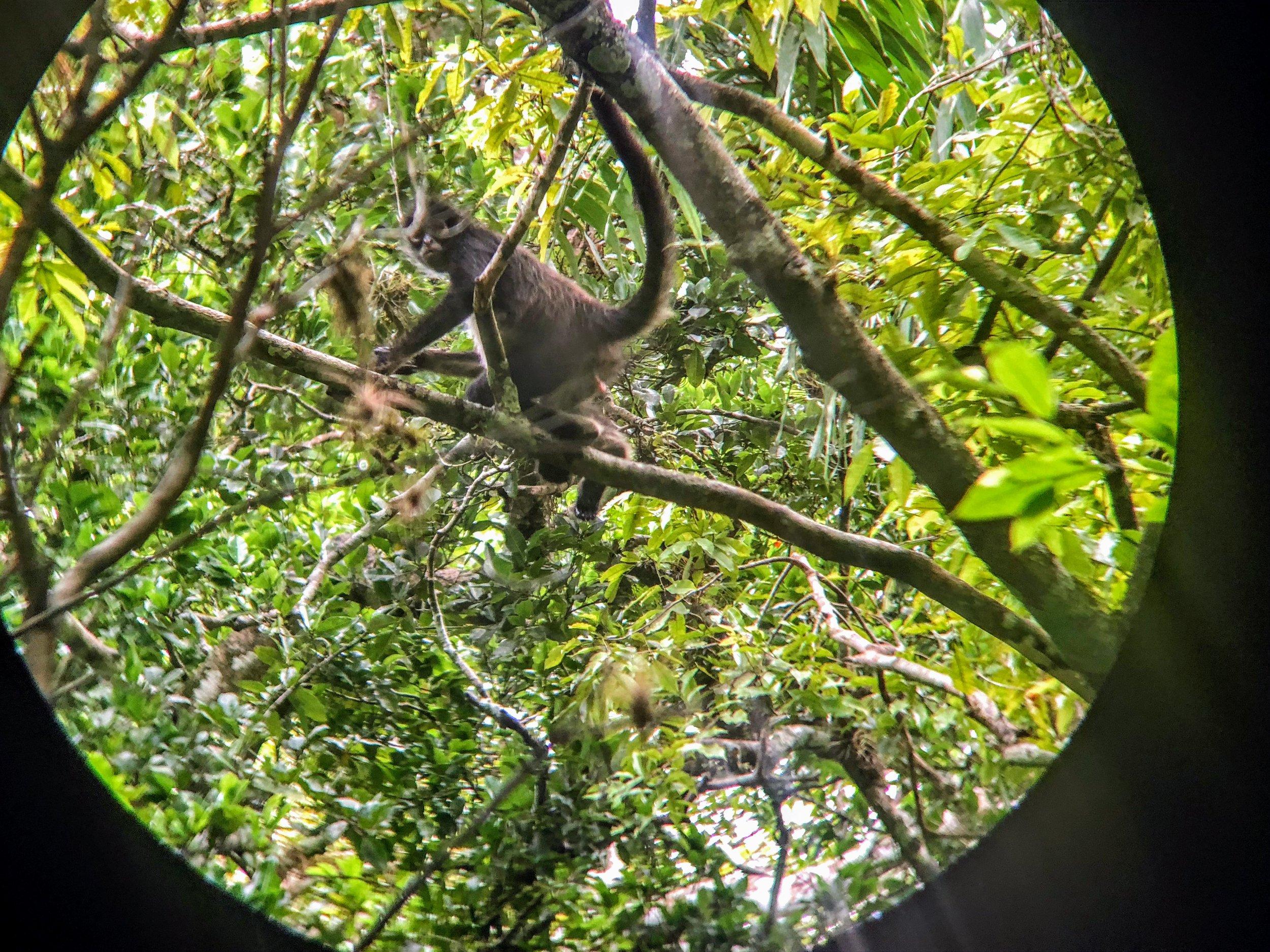 Spider monkey as seen through my binoculars.