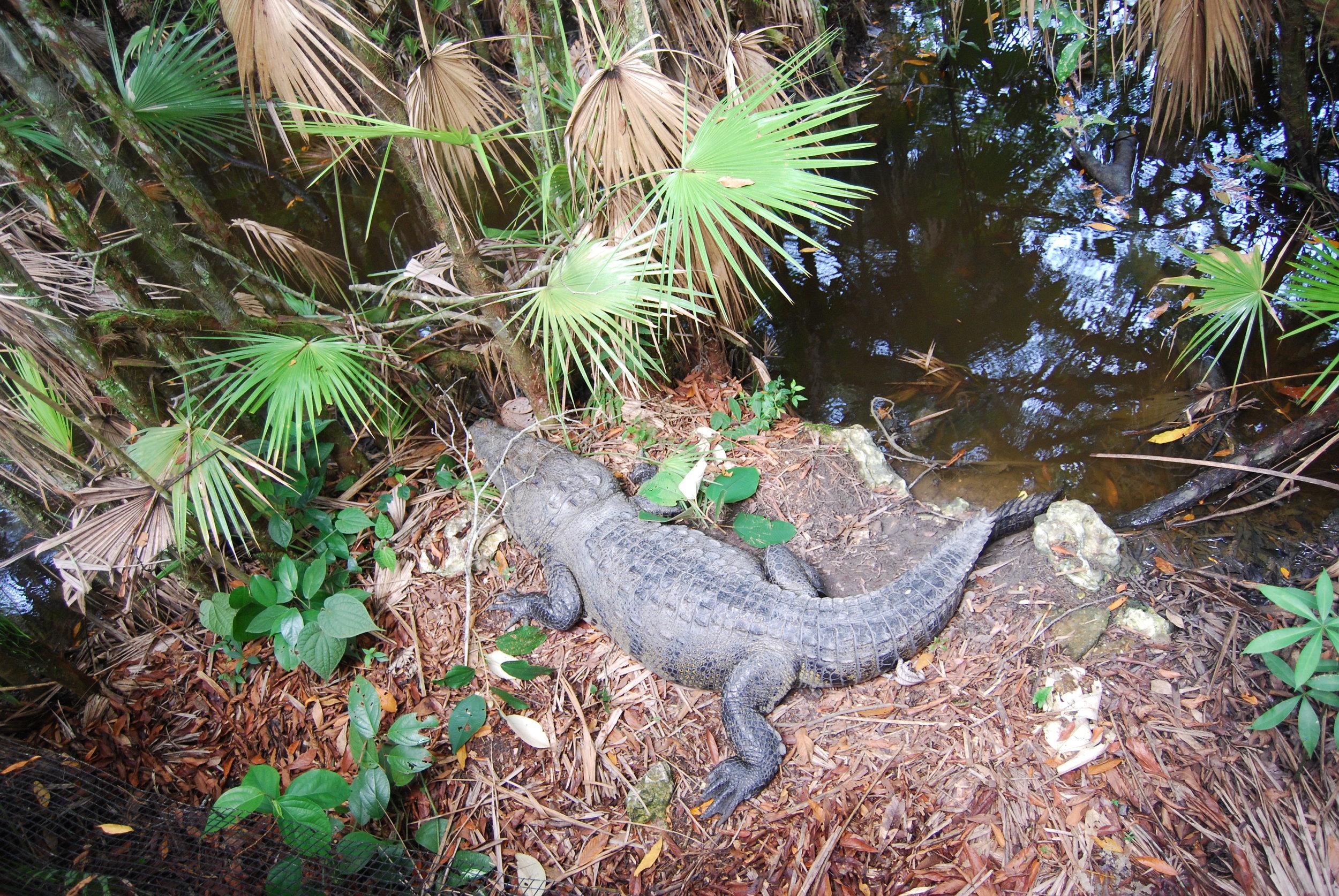 Morelet's Crocodile.