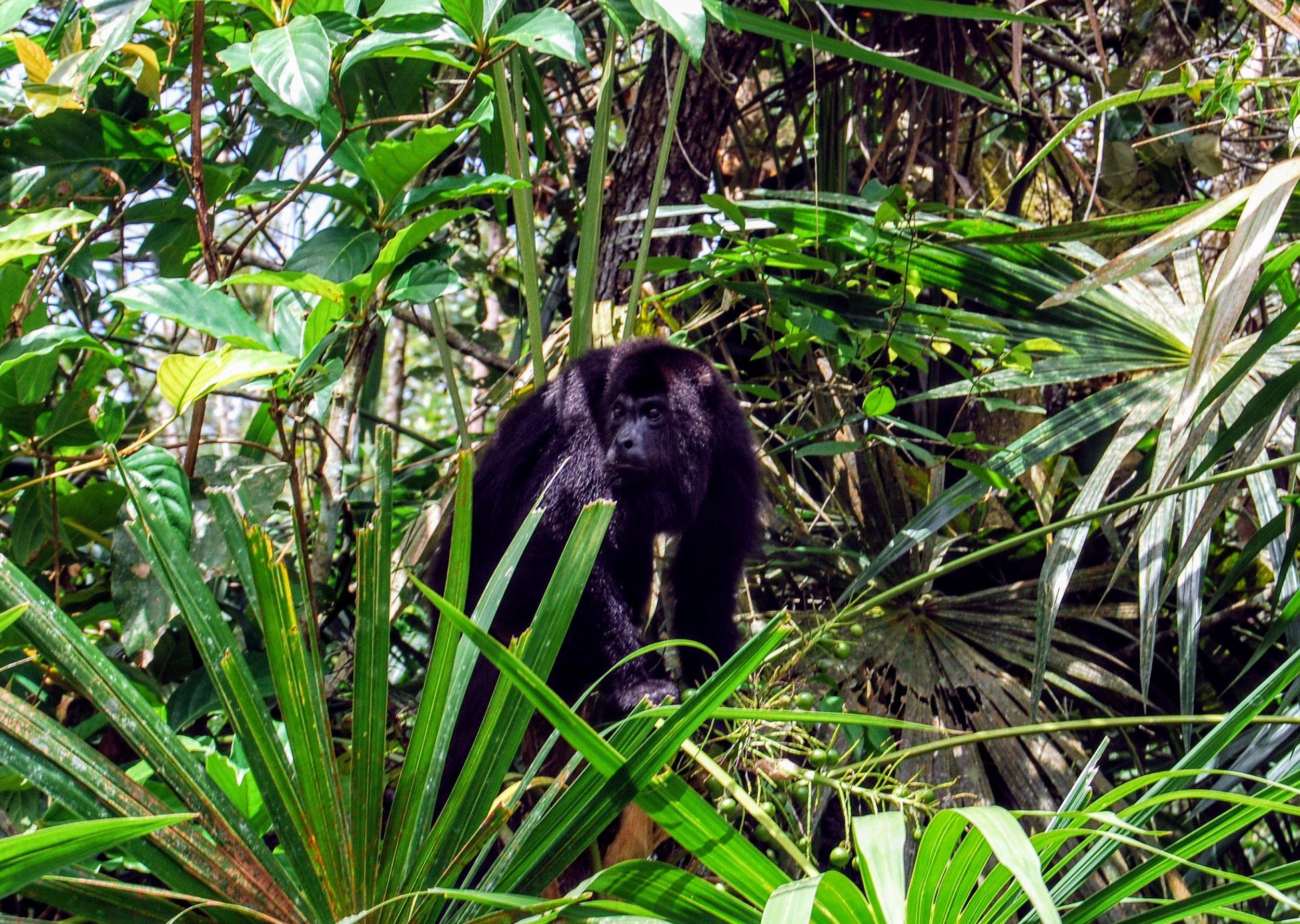 Howler monkey up close.