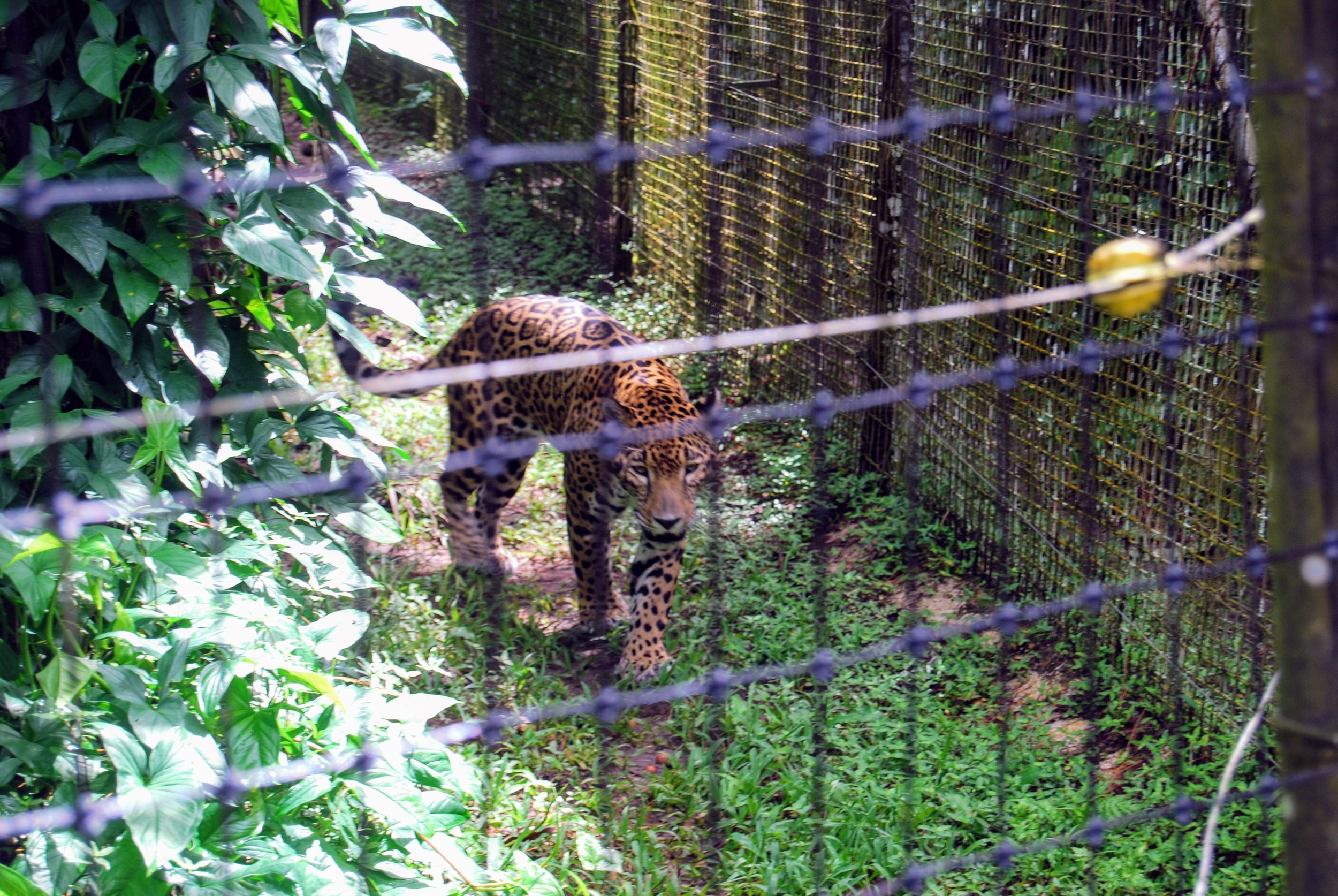Jaguar pacing the fence