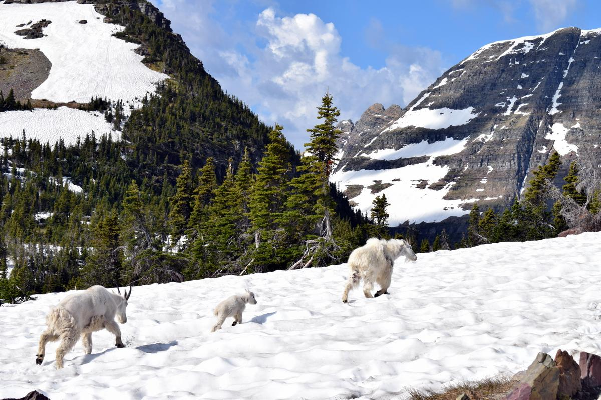 Mountain goats on the Hidden Lake Trail