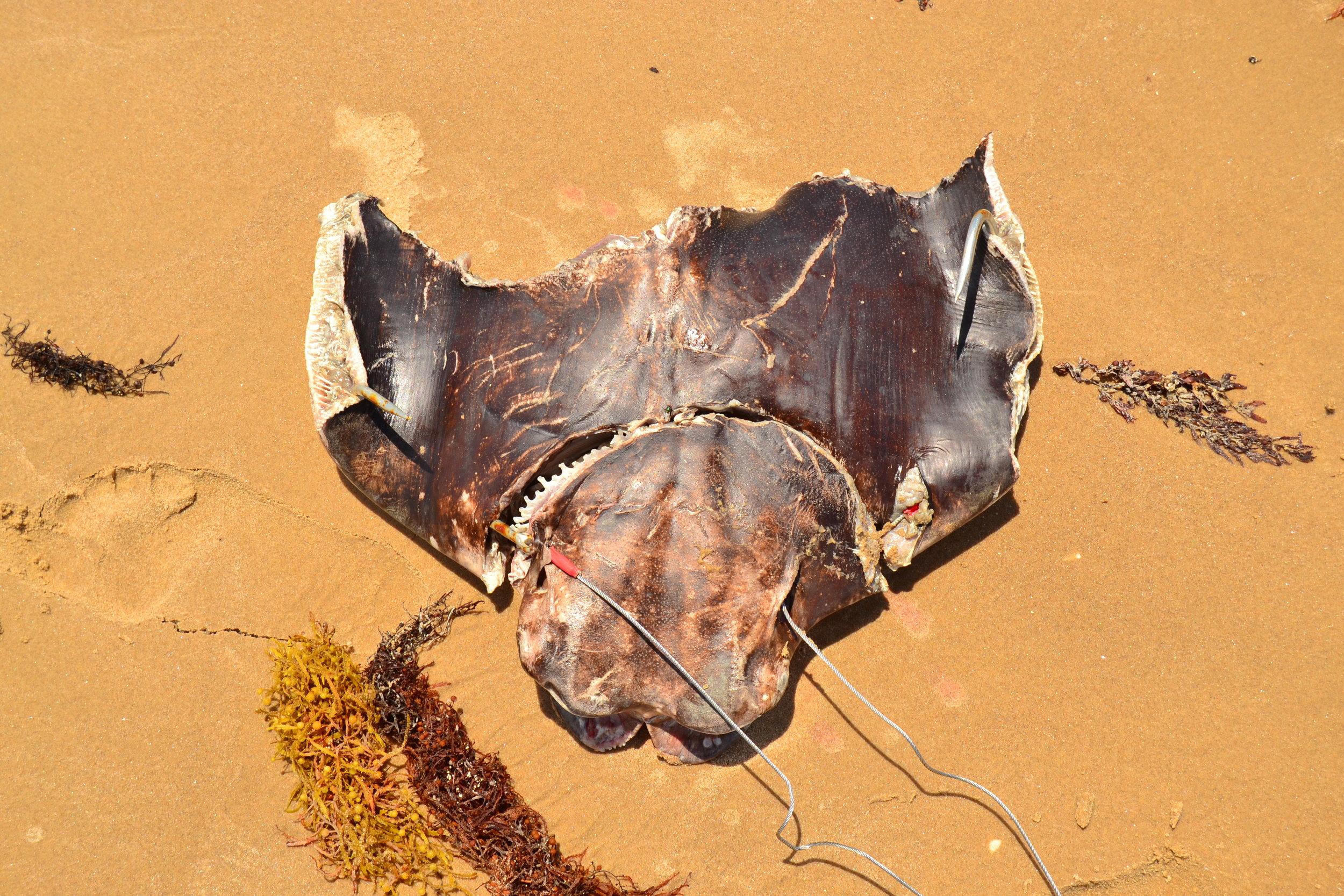 Shark bait BITTEN in half