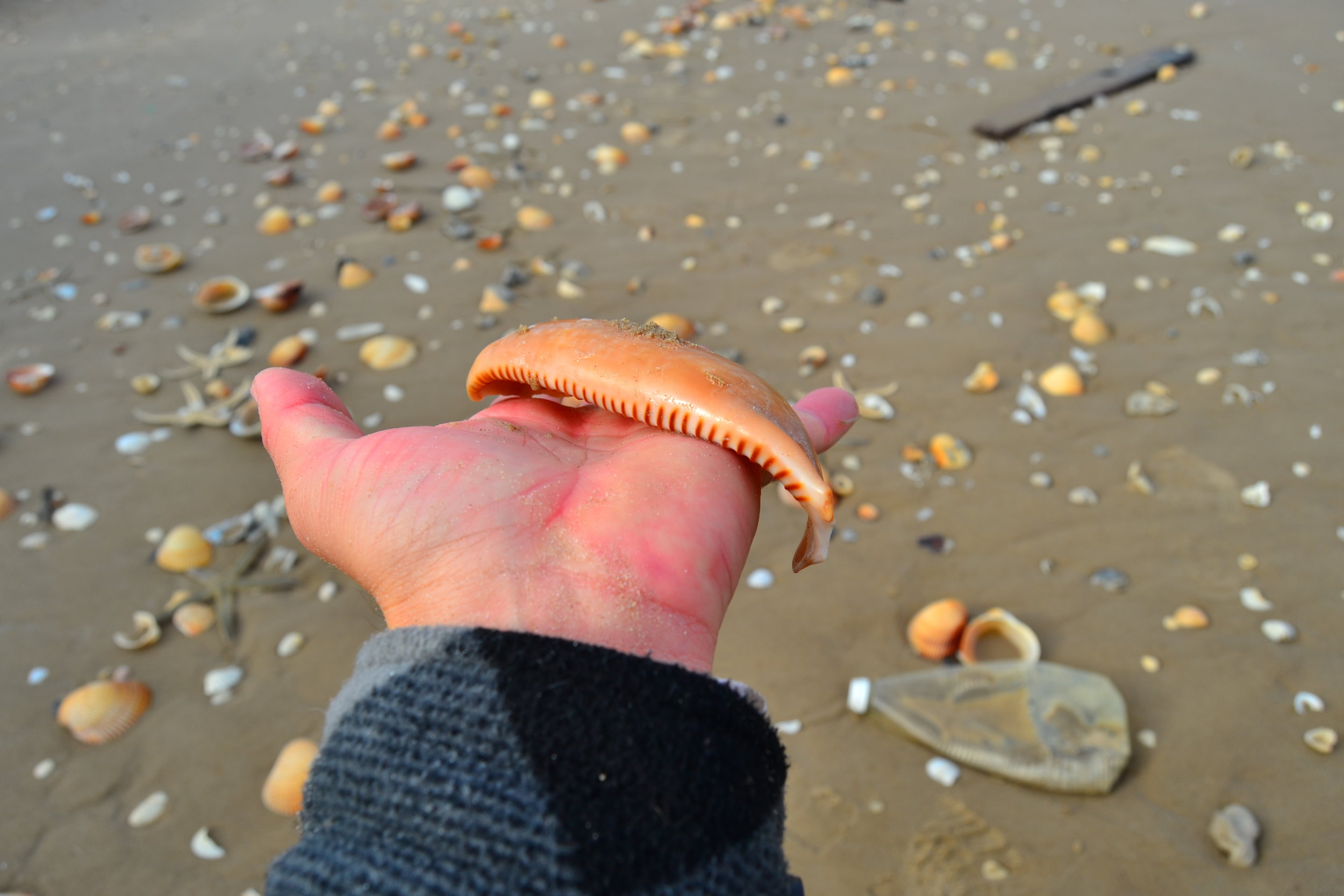 Banded Cowrie