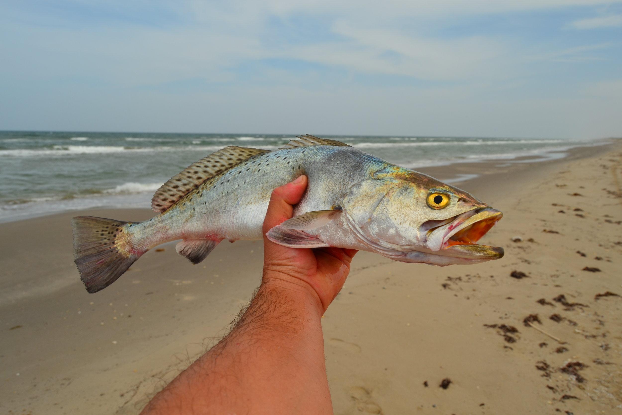 June surf trout