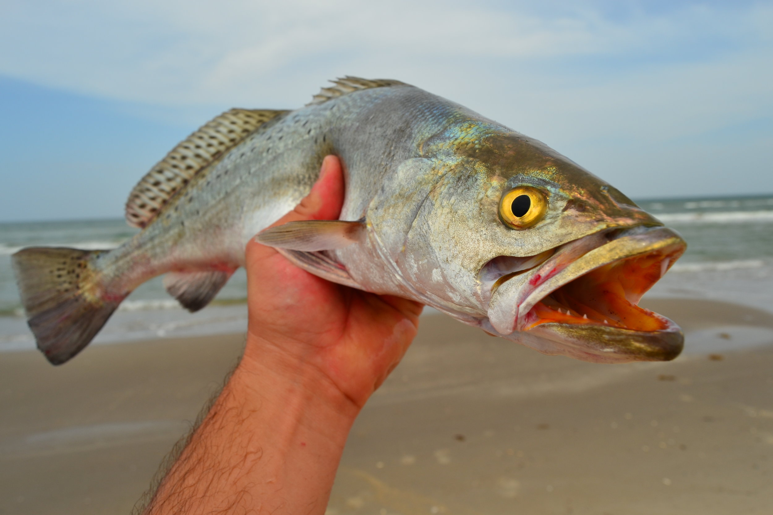 Surf trout on lures