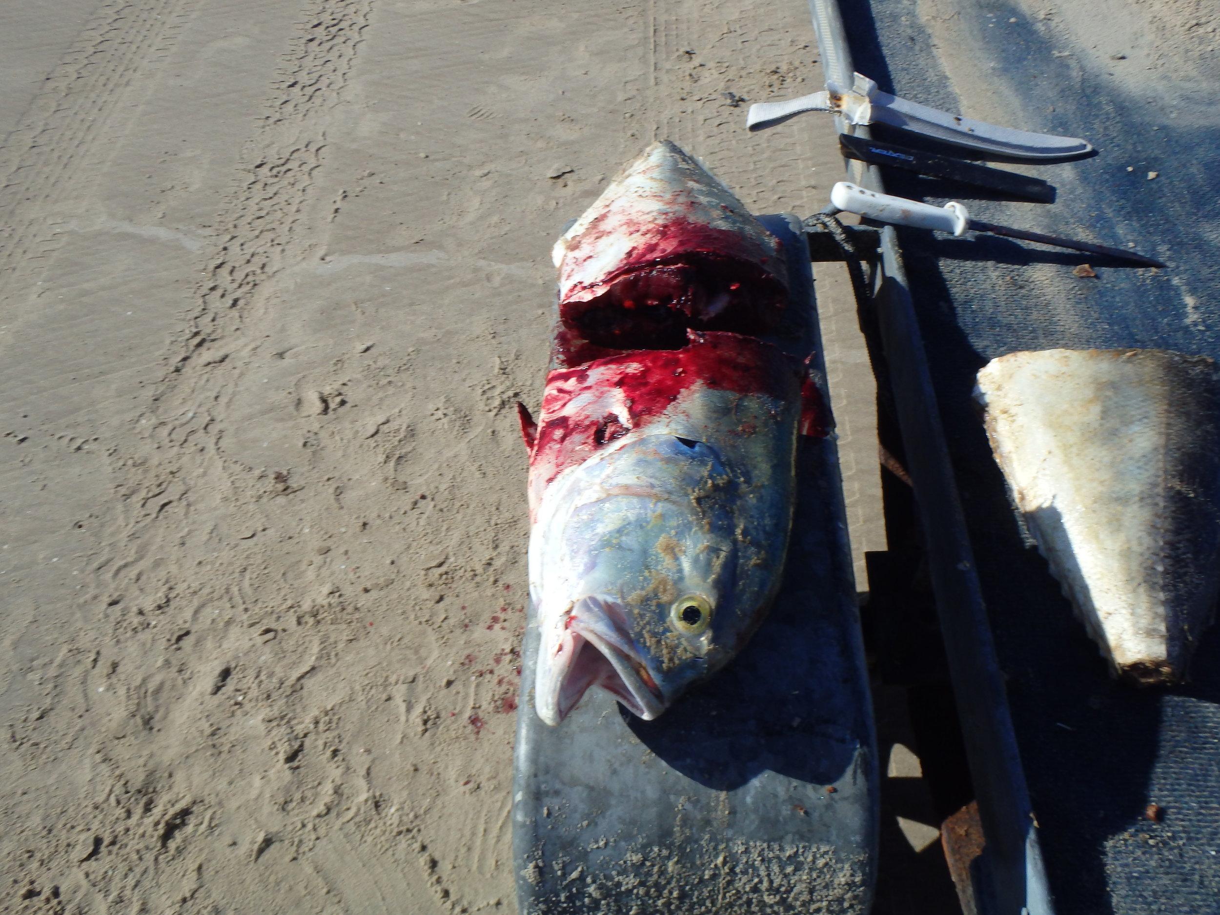 Fresh shark bait is ALWAYS best