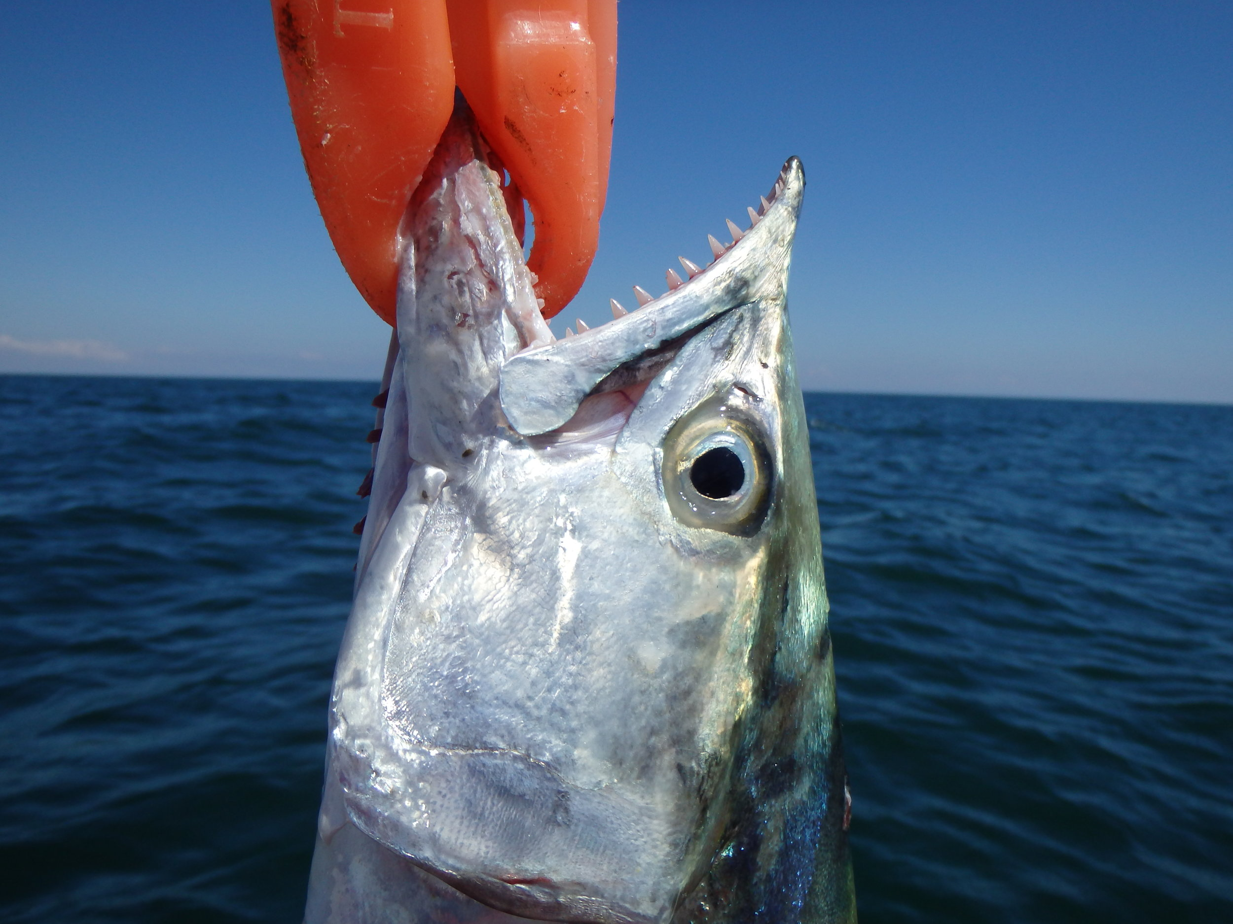 Spanish Mackerel beyond the breakers