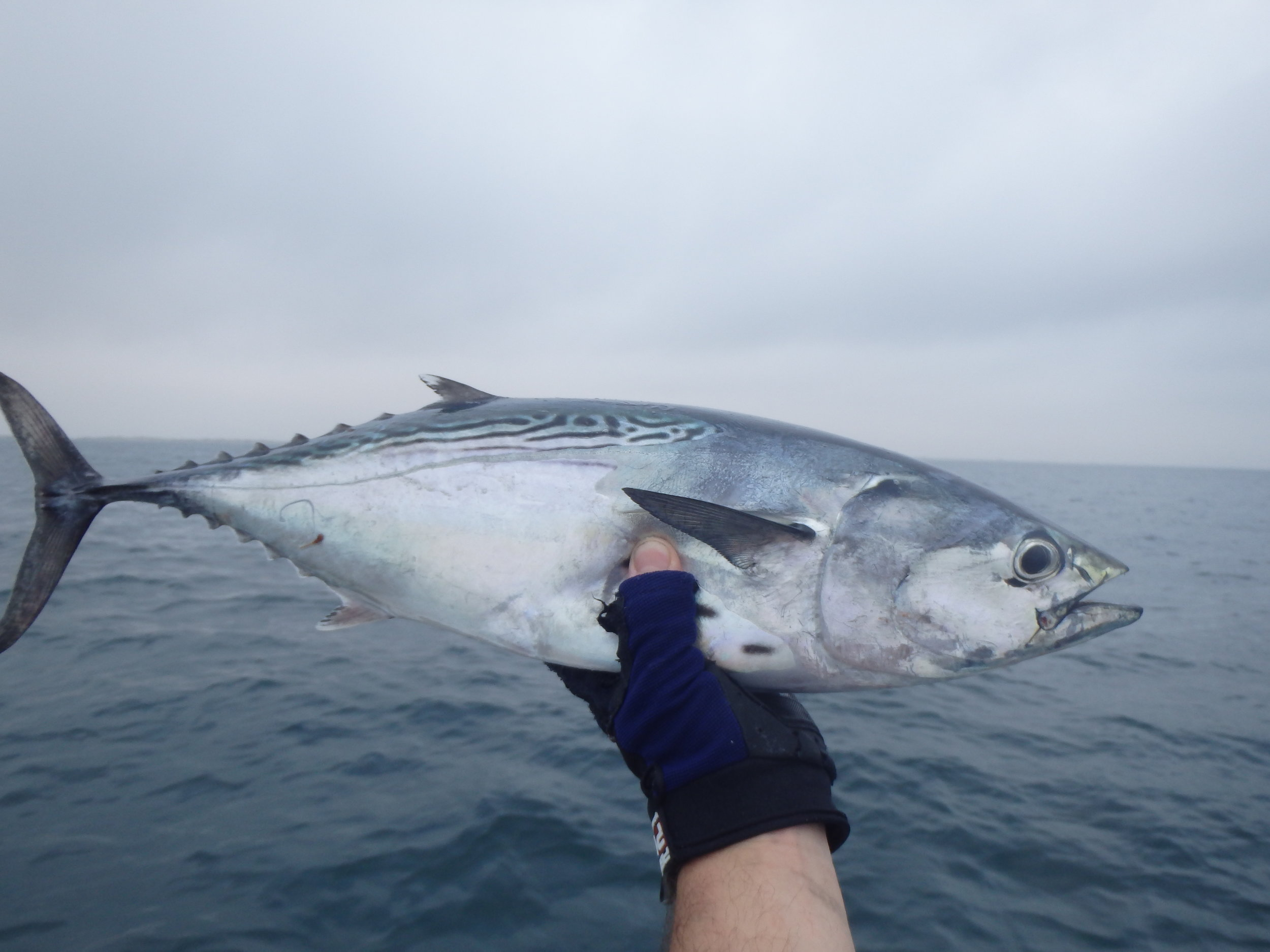 Chasing Bonita offshore in March with lures