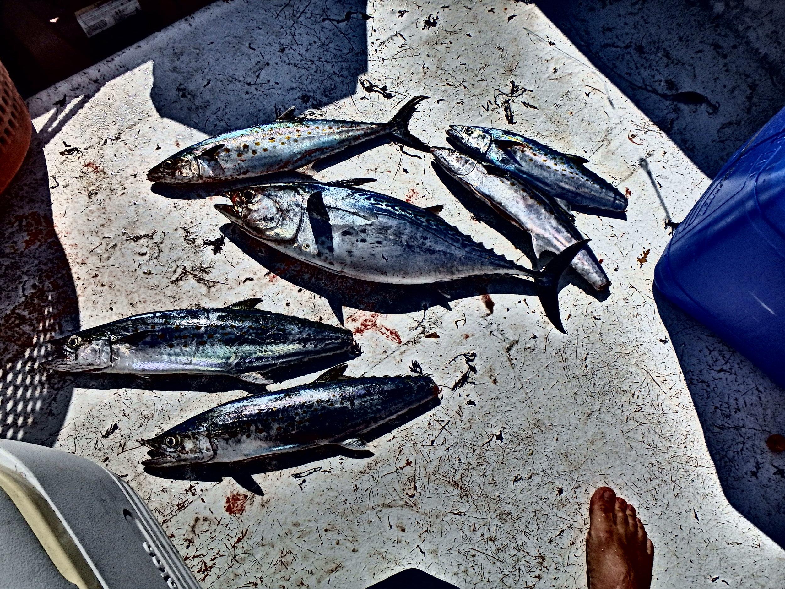 Mixed bag of 2nd gut Spanish Mackerel and Bonita