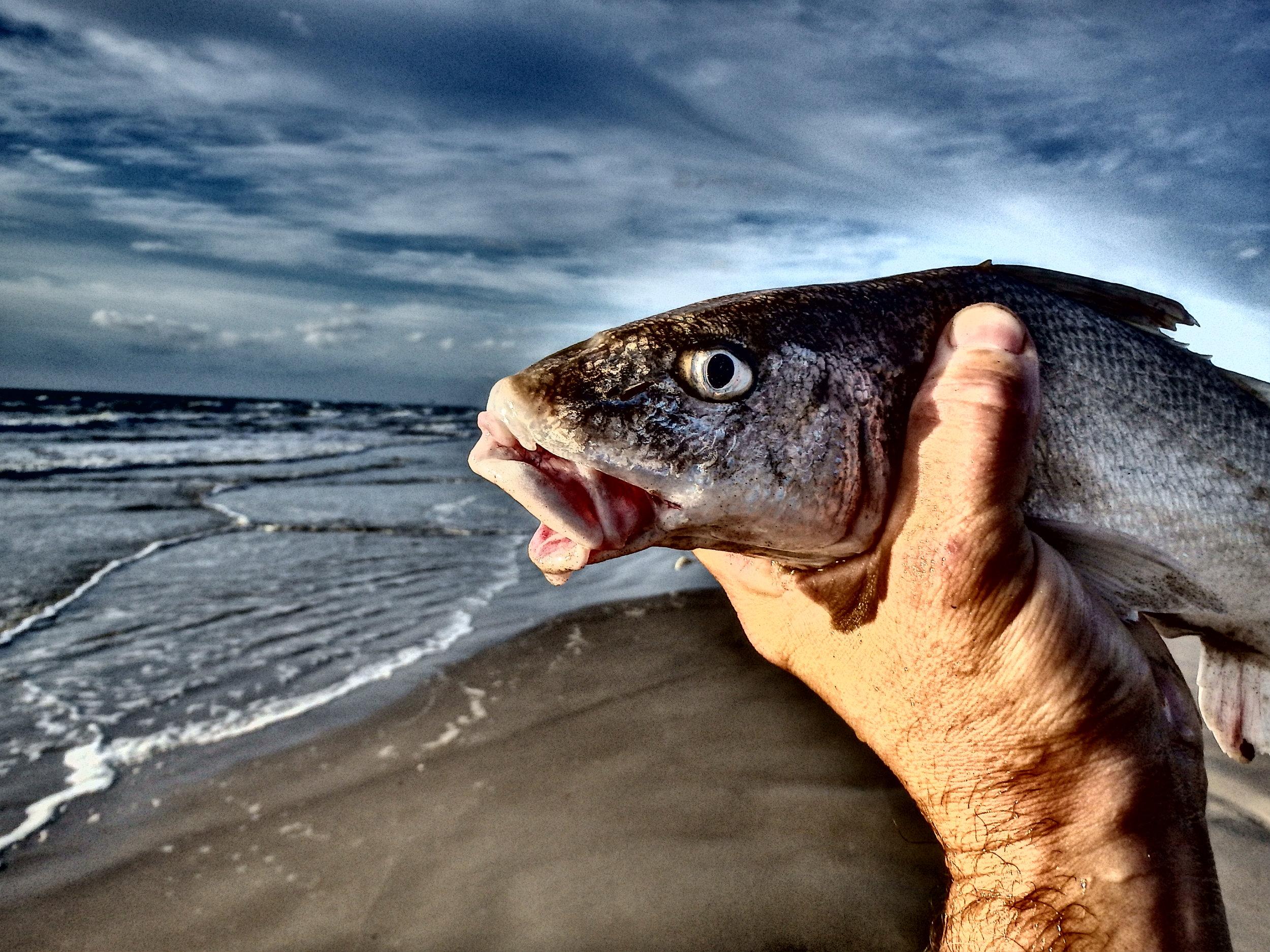 Gulf Kingfish is a very abundant species beachfront