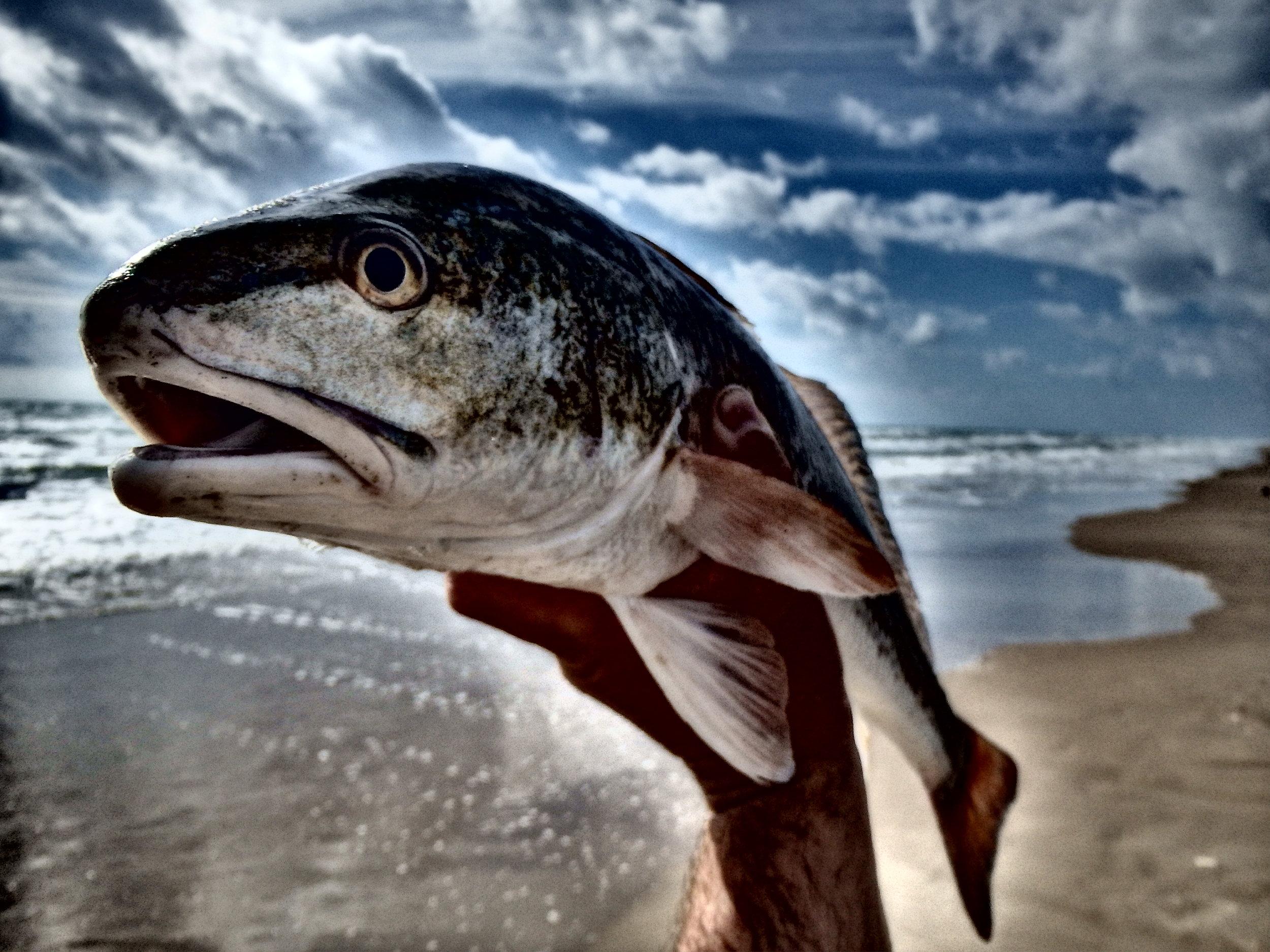Redfish-fall mullet migration