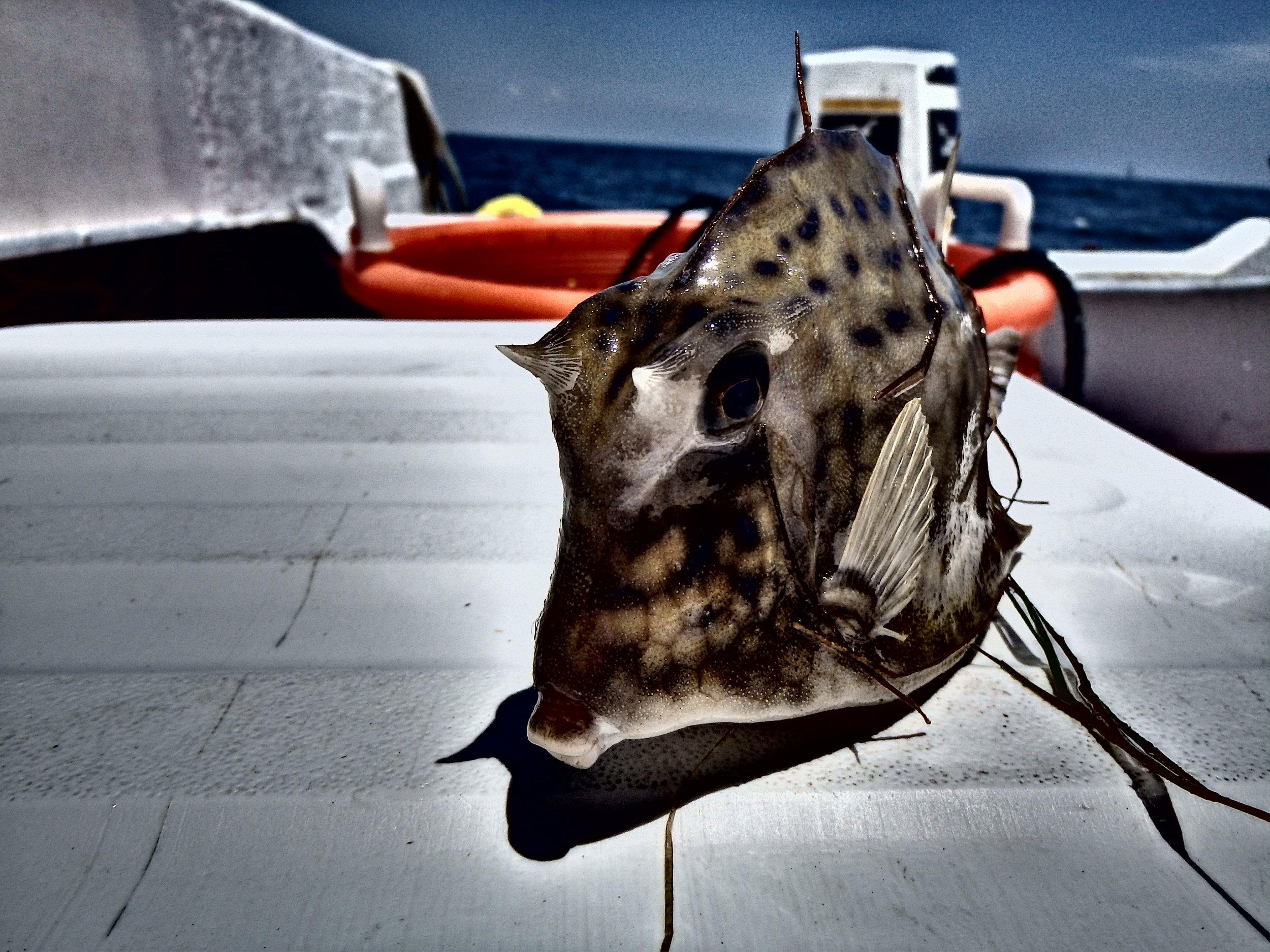 Horned Cowfish