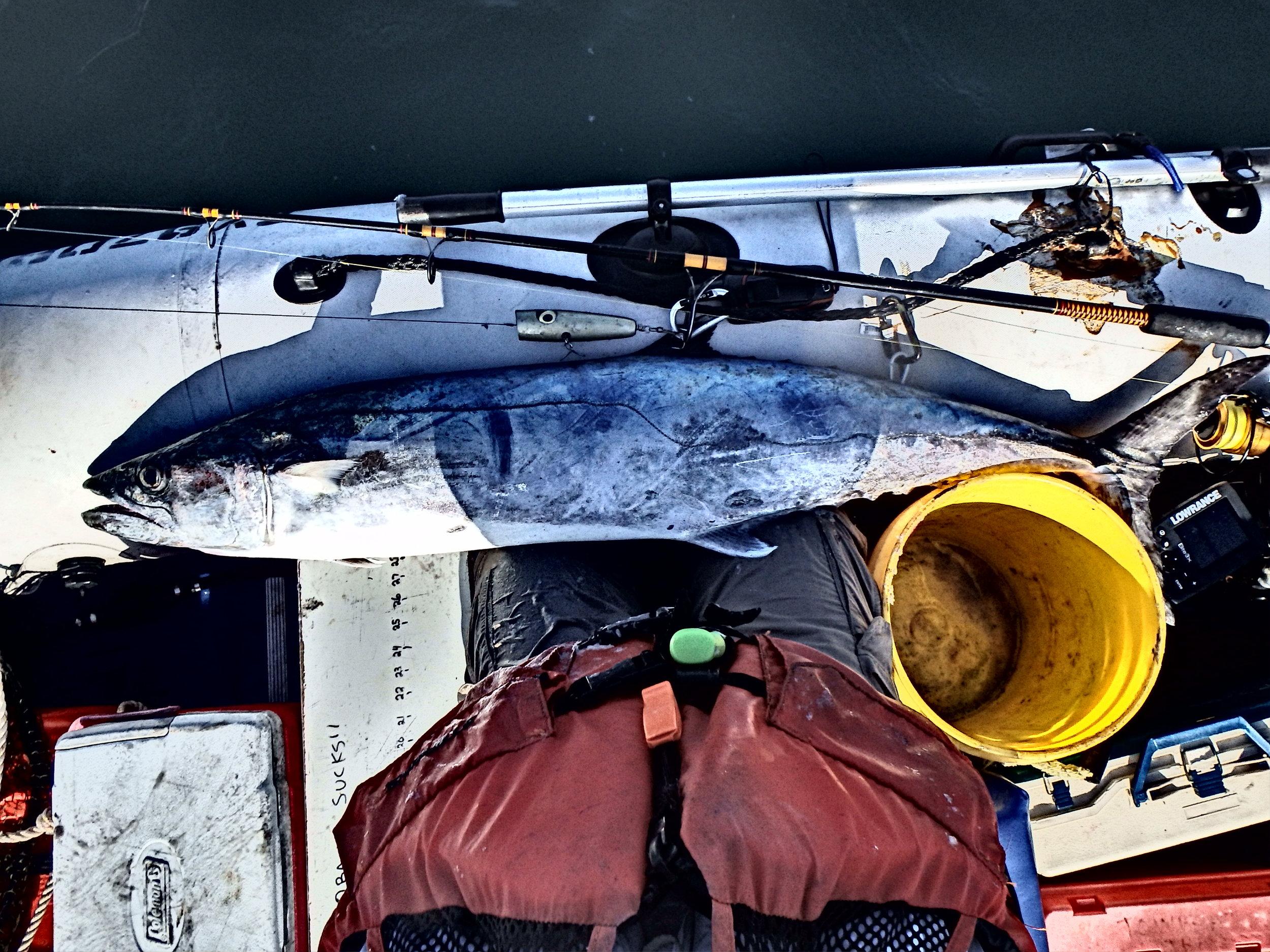 King Mackerel on lure 2 miles offshore