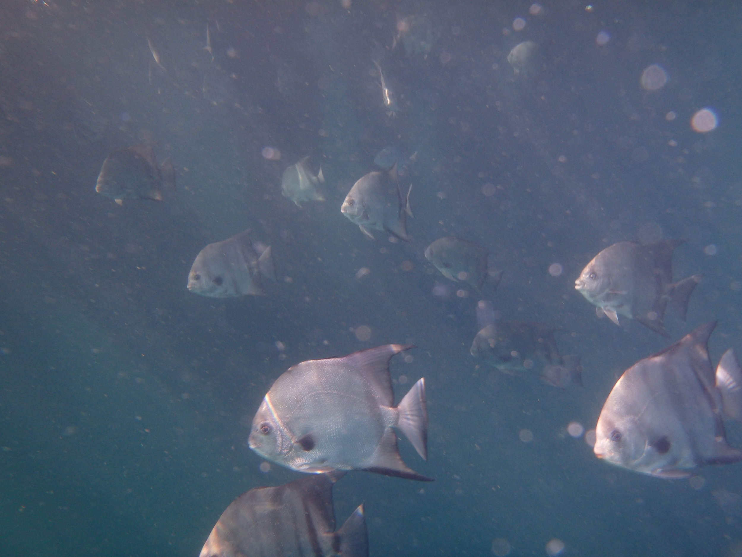 Atlantic Spadefish 2 miles off the beach