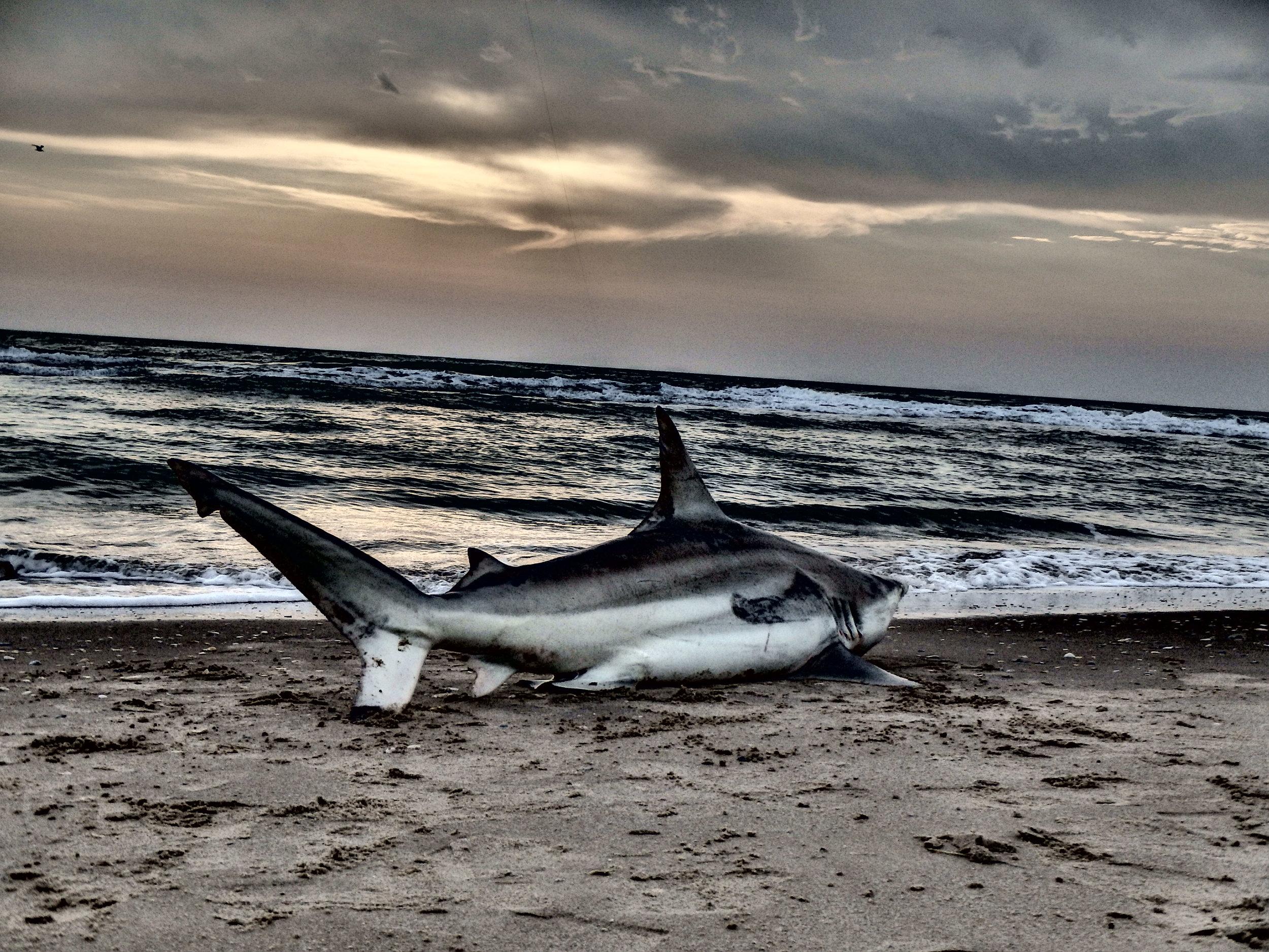 Casted bait blacktip shark