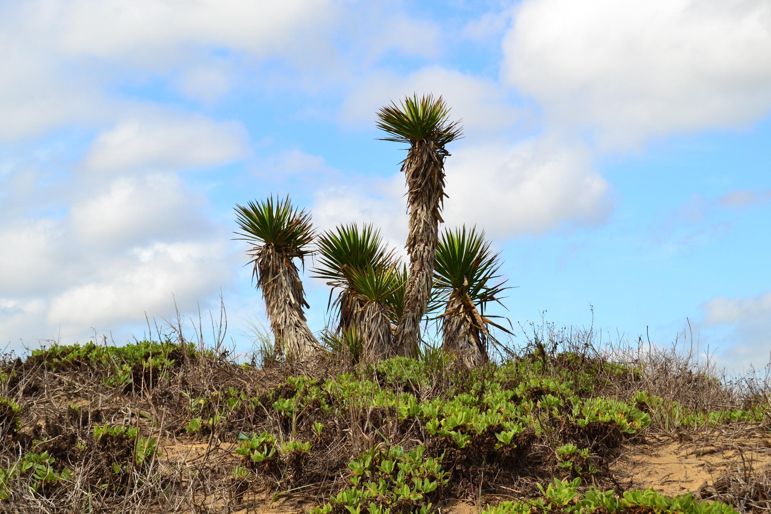Padre Yucca/Spanish Dagger plants