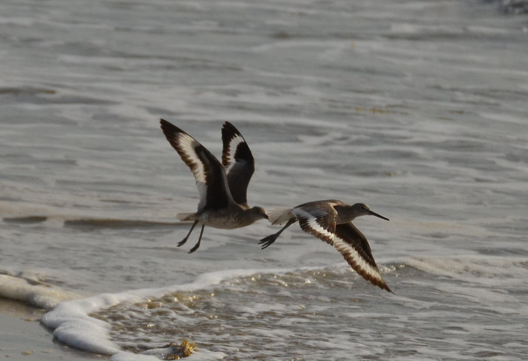 Willets in early spring