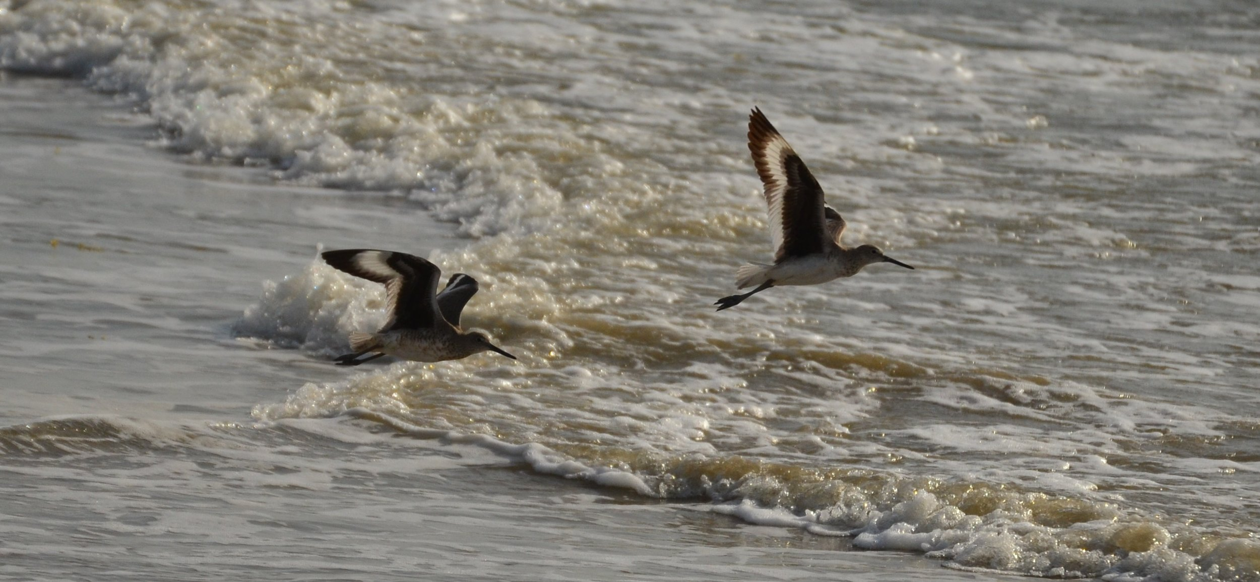Willets in flight, March