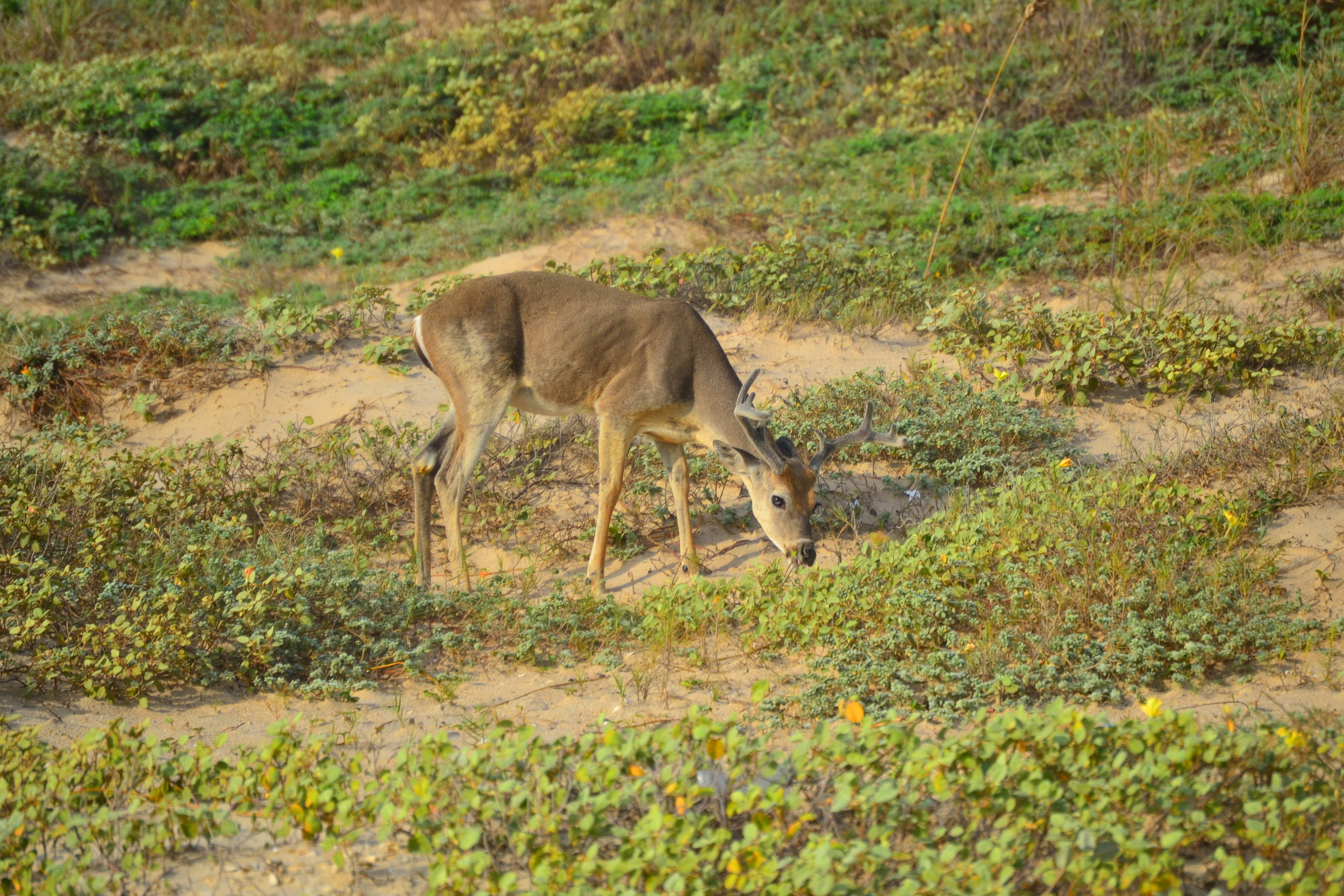 September buck foraging amongst the Gulf Croton.