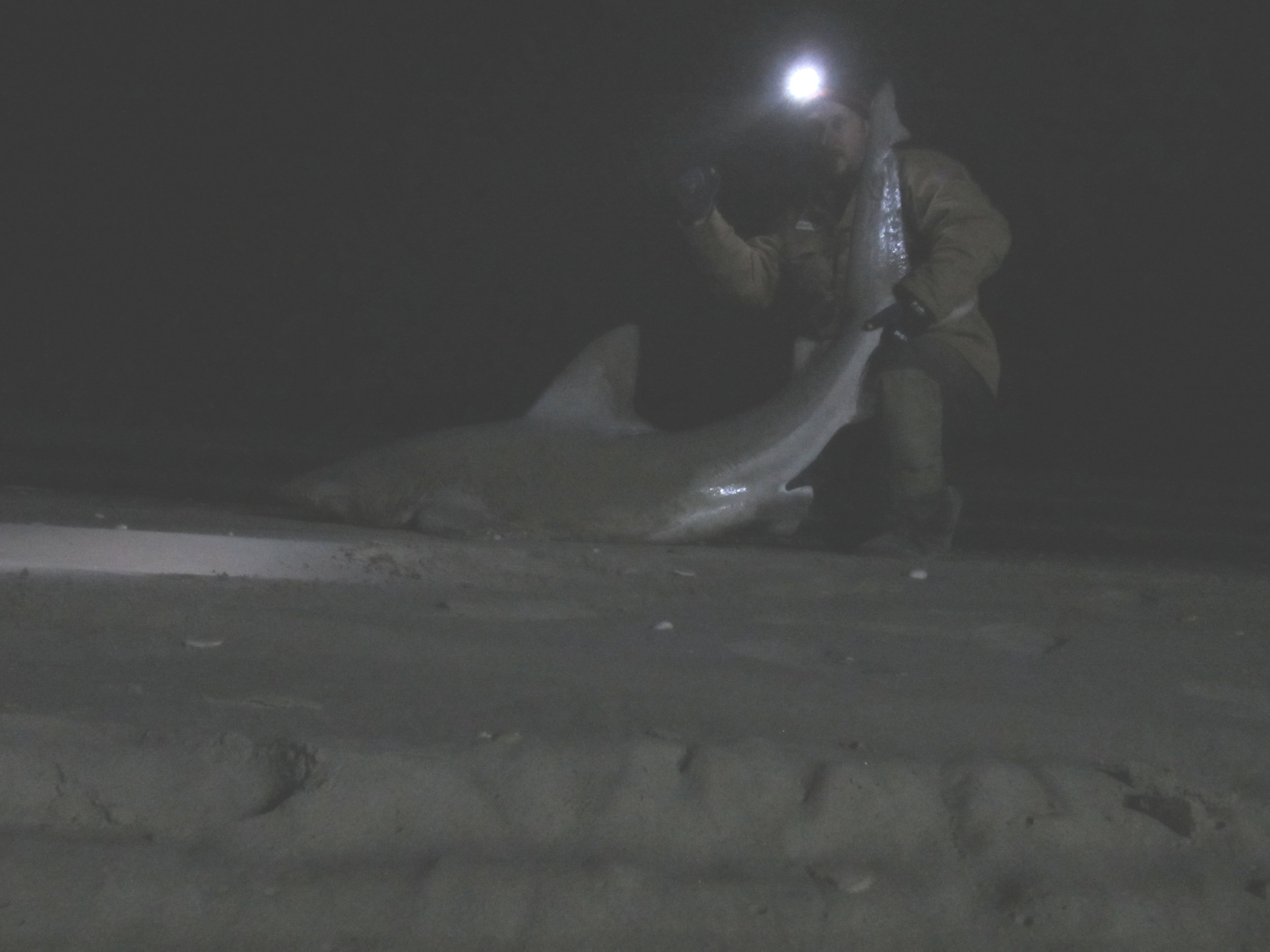 February Sandbar Shark