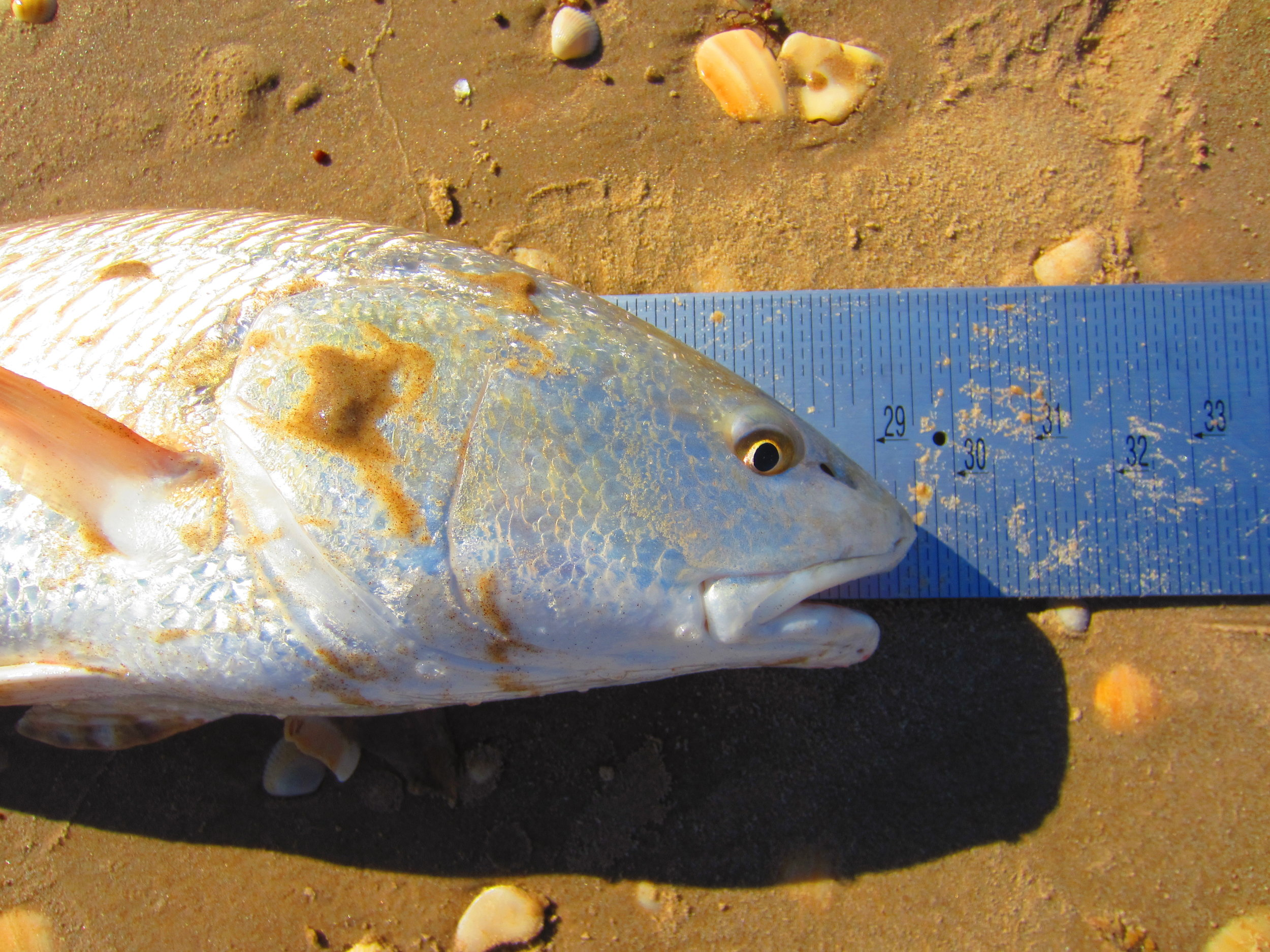 Early fall redfish