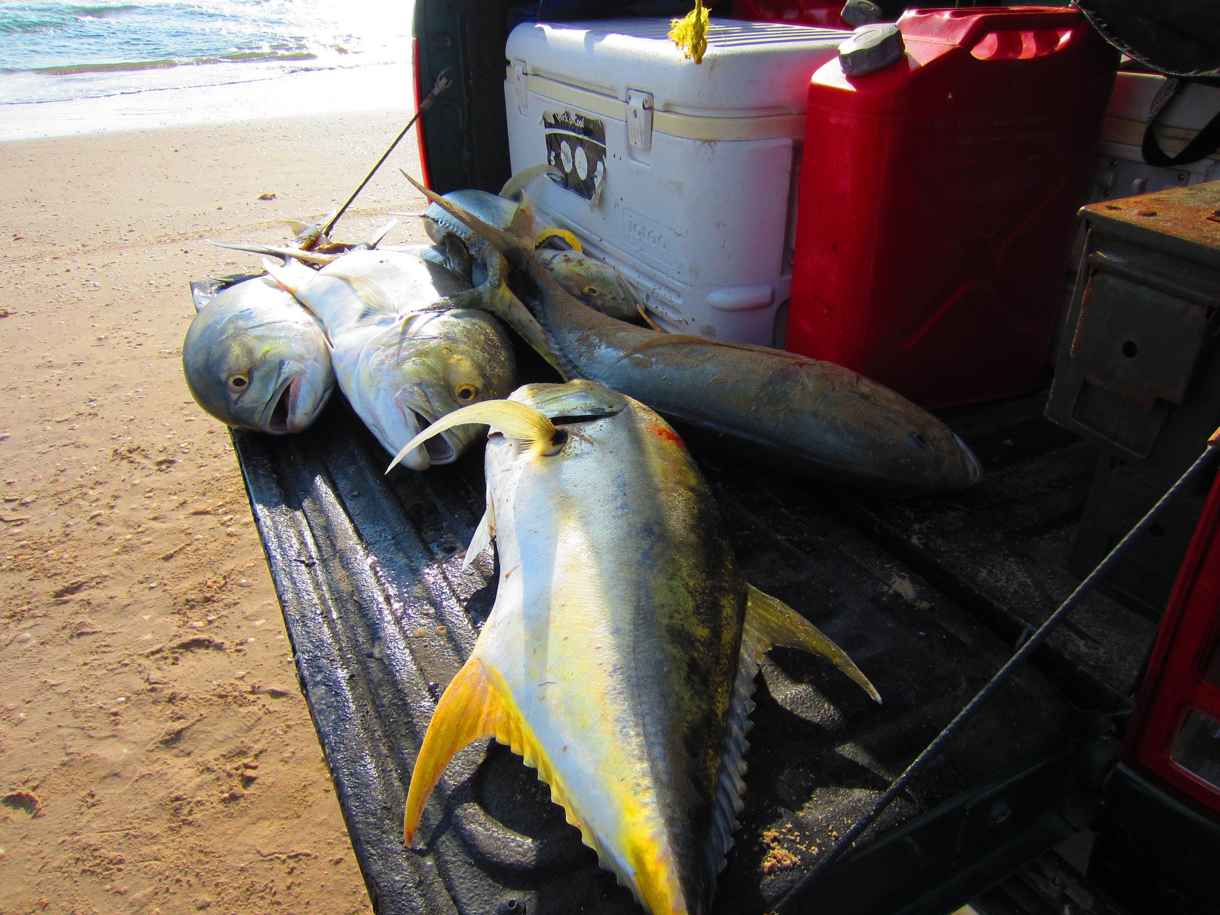 Six Jack Crevalle for shark bait
