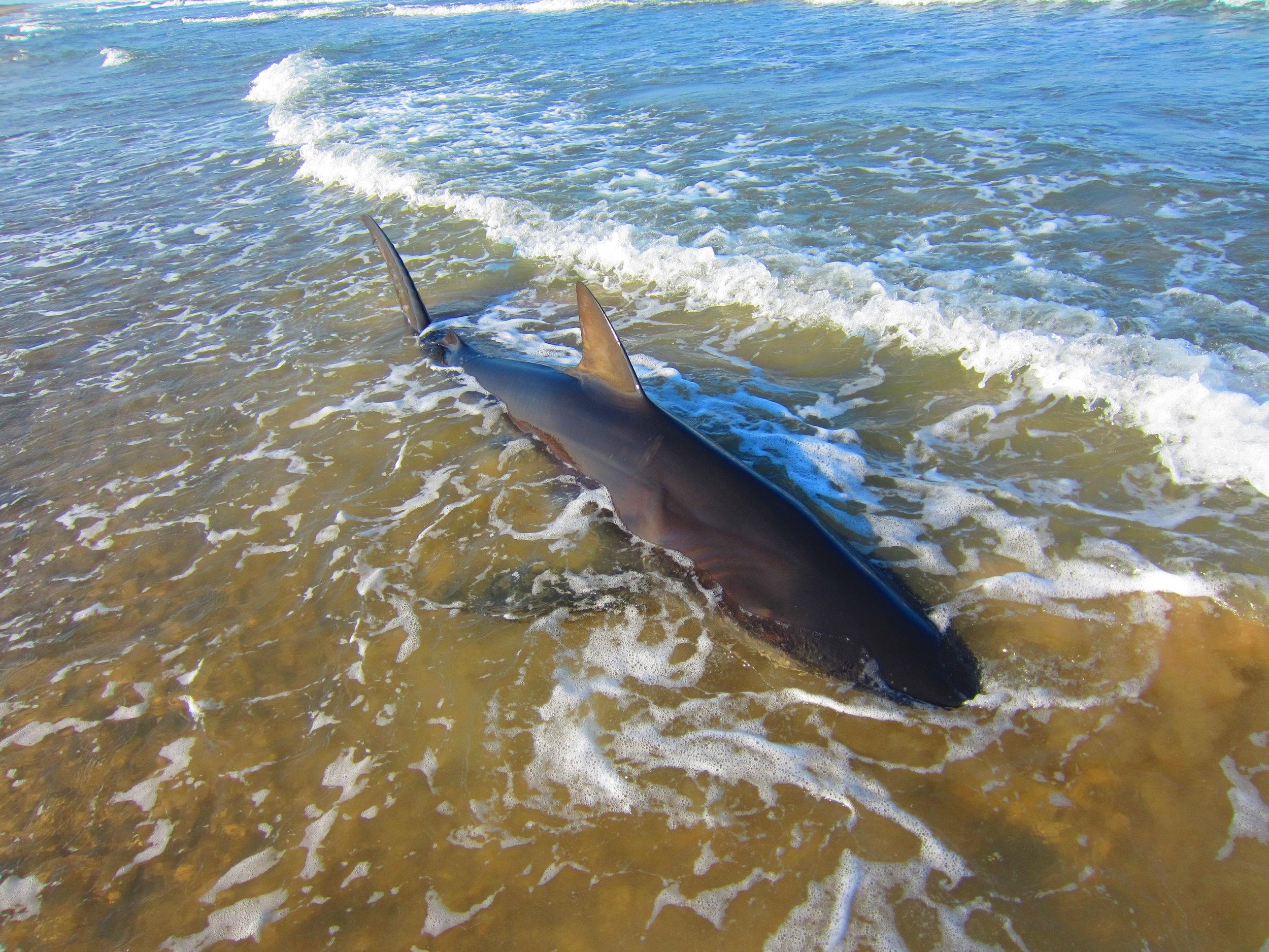 10 ft Dusky Shark
