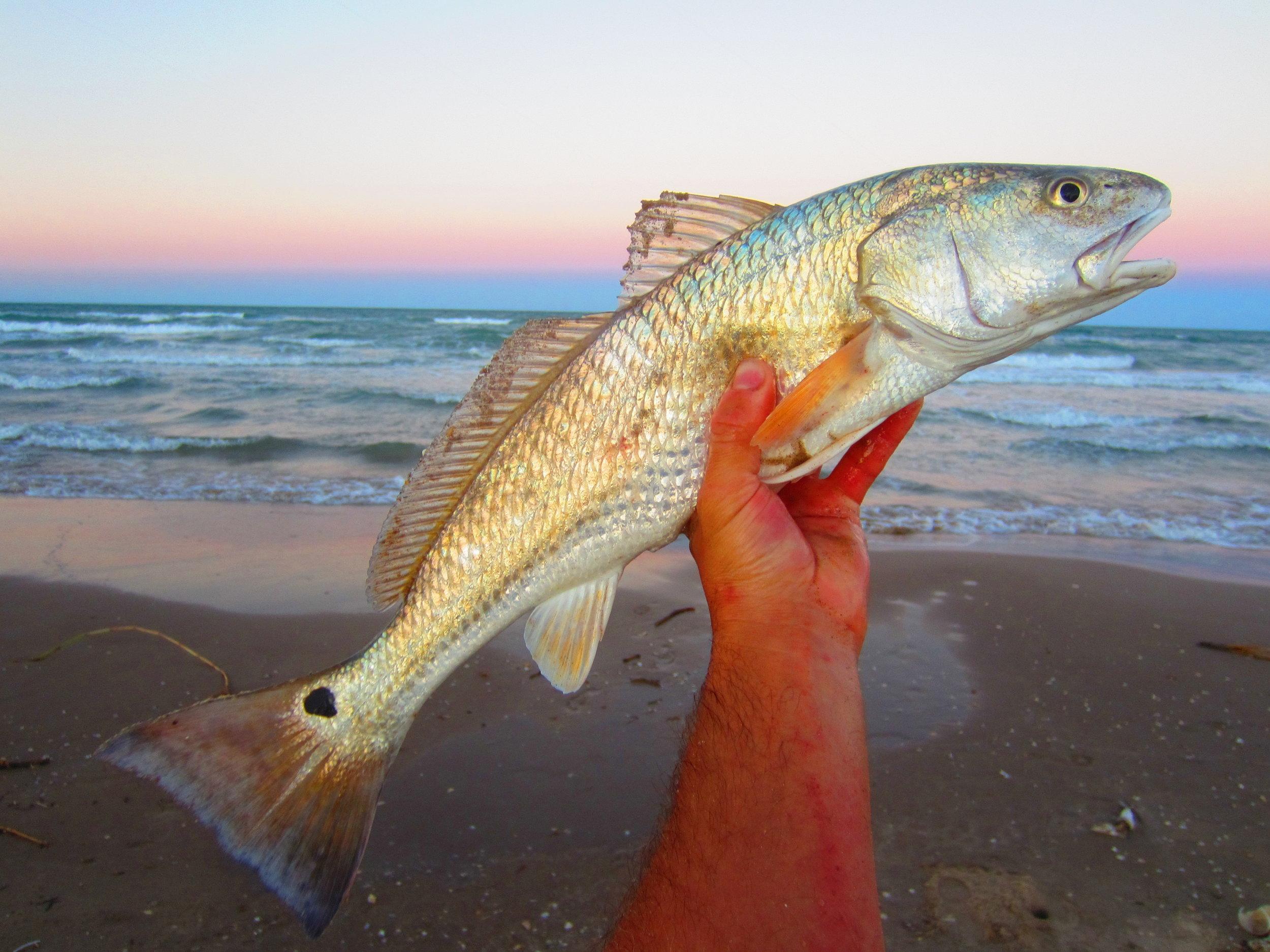 Redfish at dusk