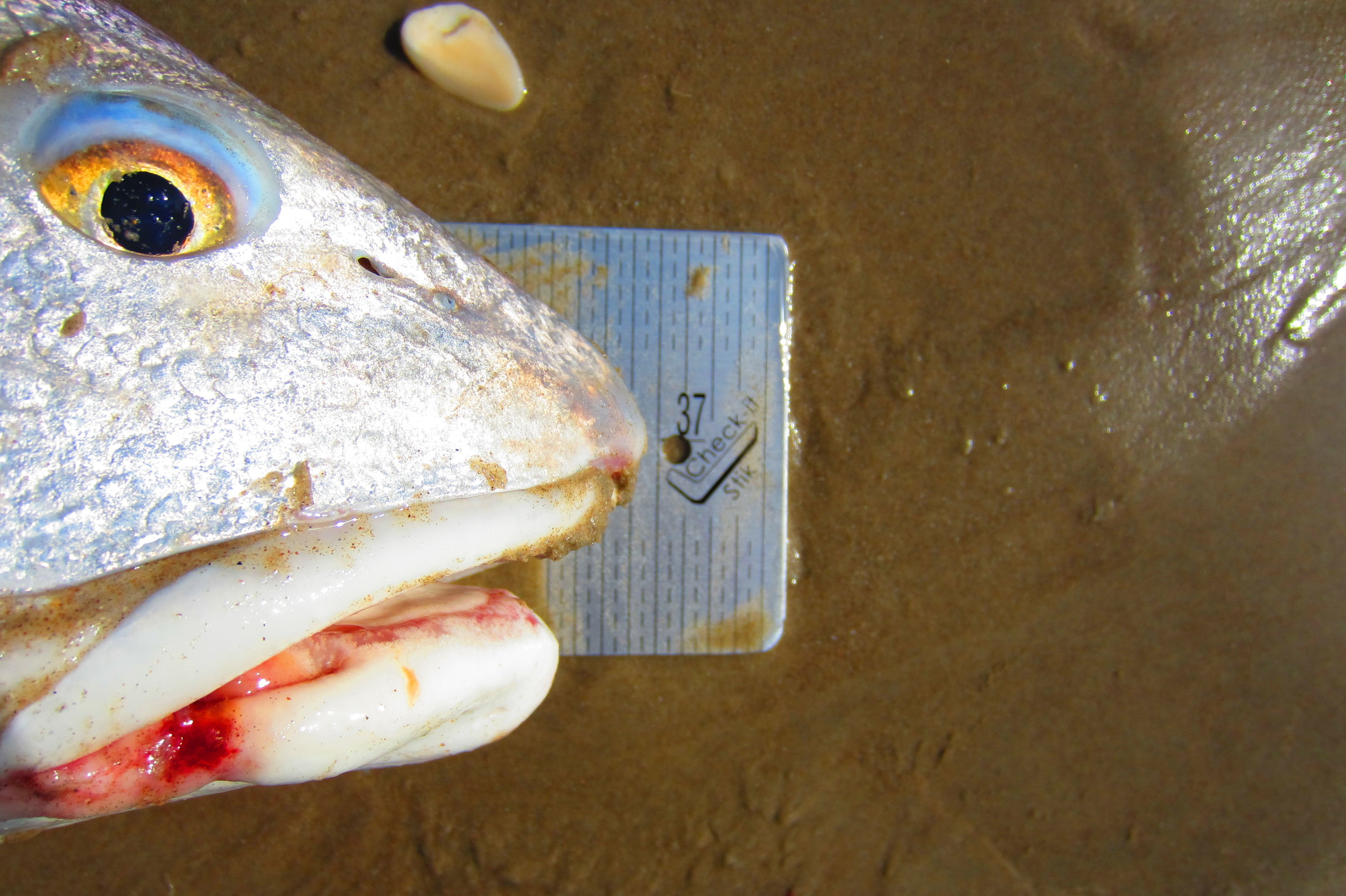 37 Inch Redfish