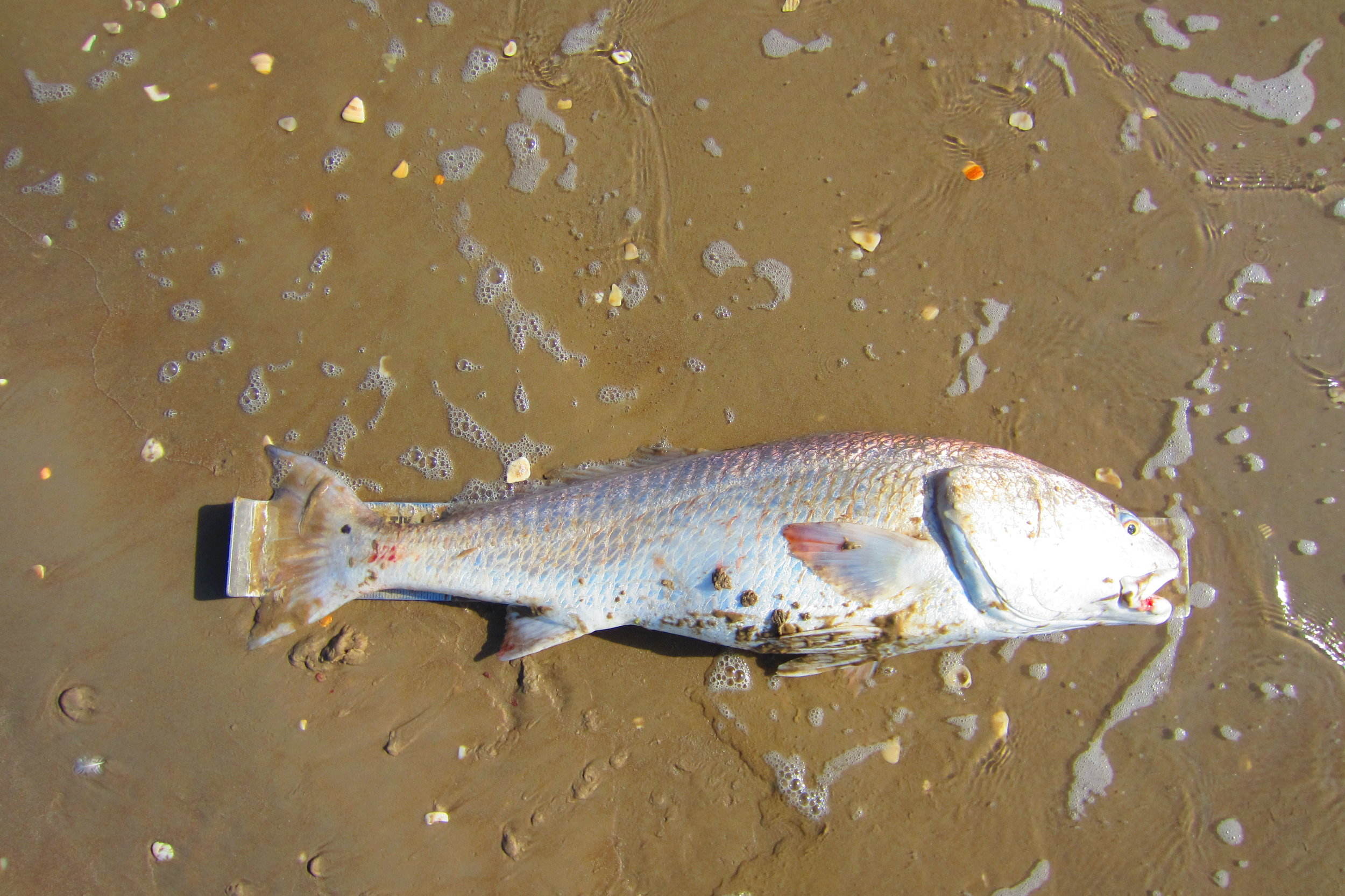 Bull Redfish of Winter