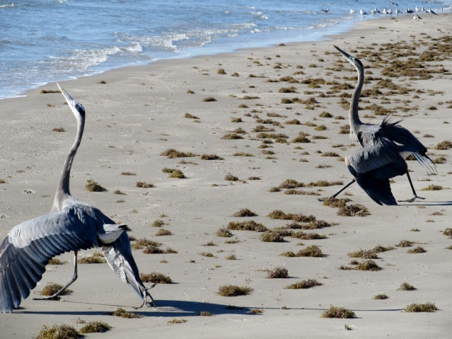 Great Blue Herons exhibiting territorial defense behavior