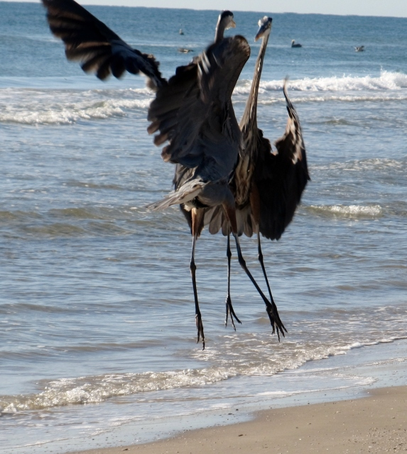 Great Blue Heron territoriality