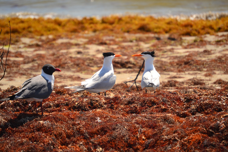 Laughing Gull, Two Royal Terns during breeding season