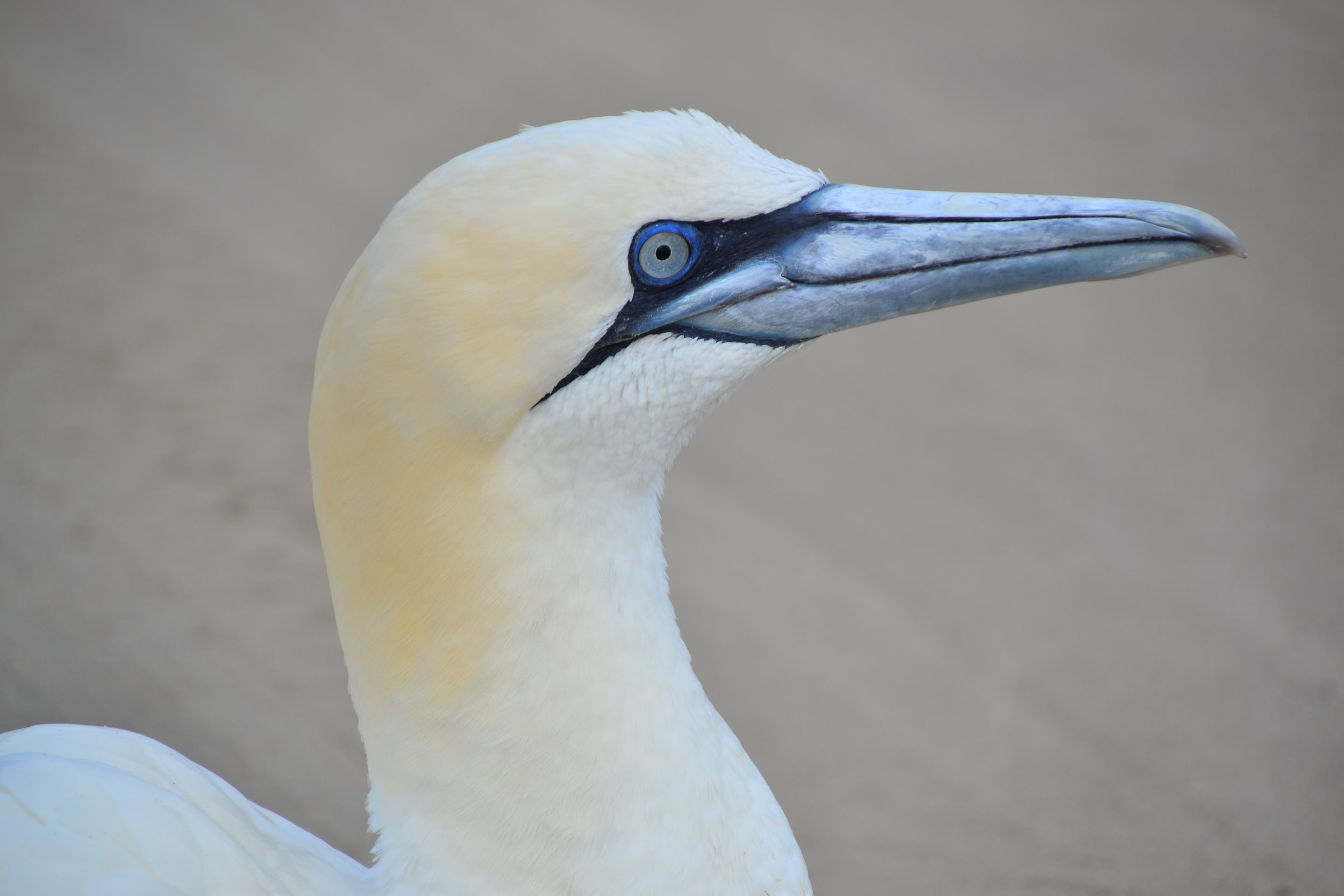 Northern Gannet, Adult.