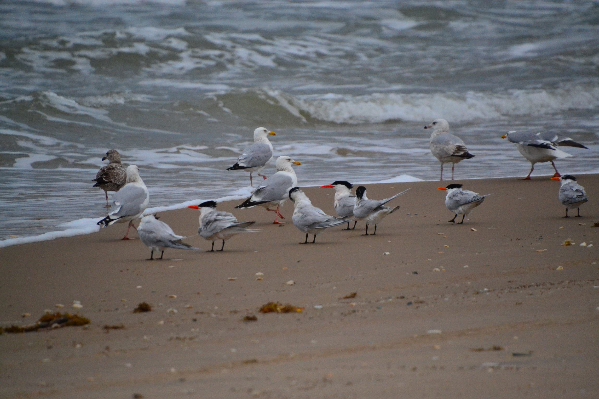 March Royal terns, Caspian Terns, Herring gulls in breeding plumage.