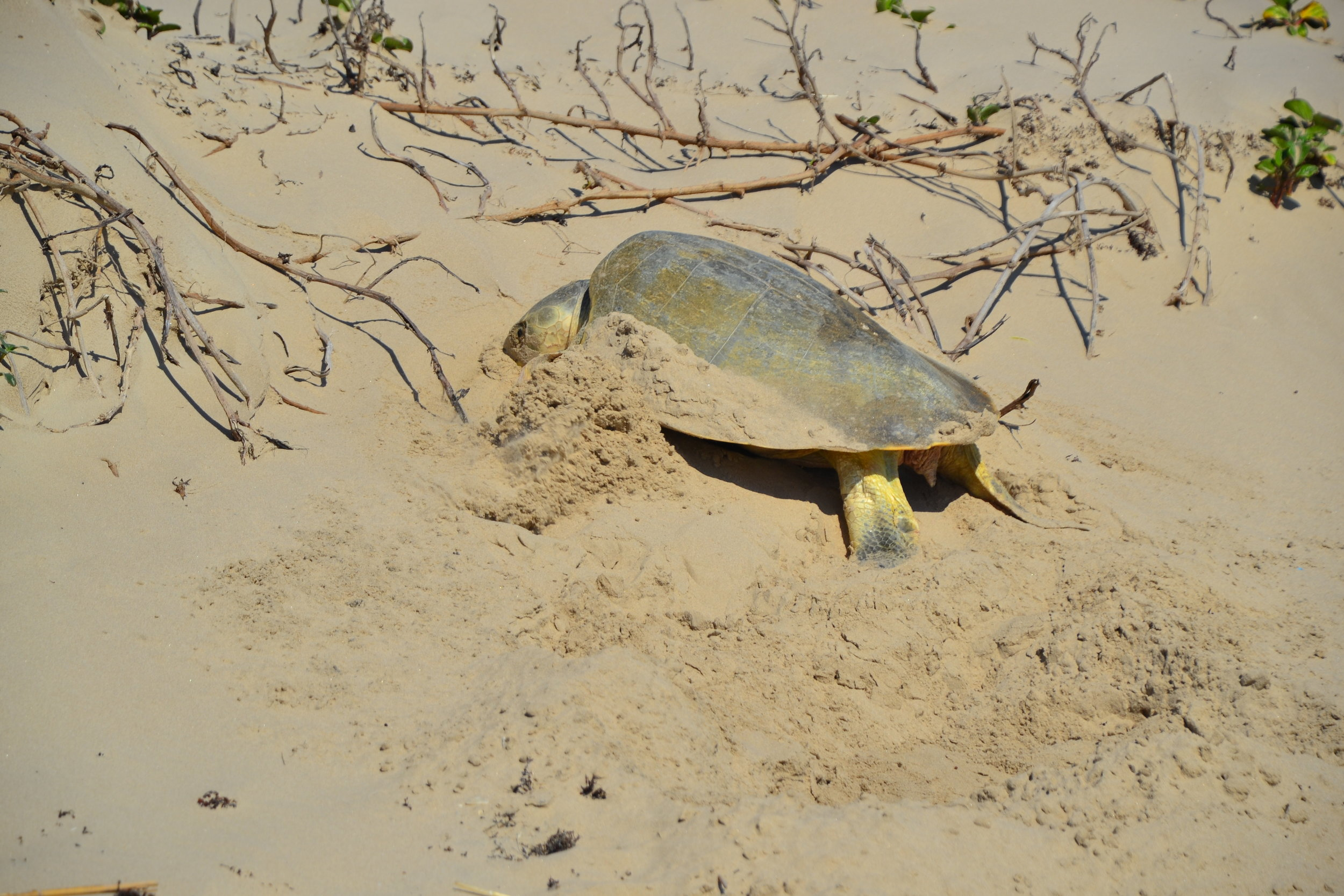 Finding an endangered Kemp's Ridley sea turtle and reporting it right away to the Turtle Science patrollers!