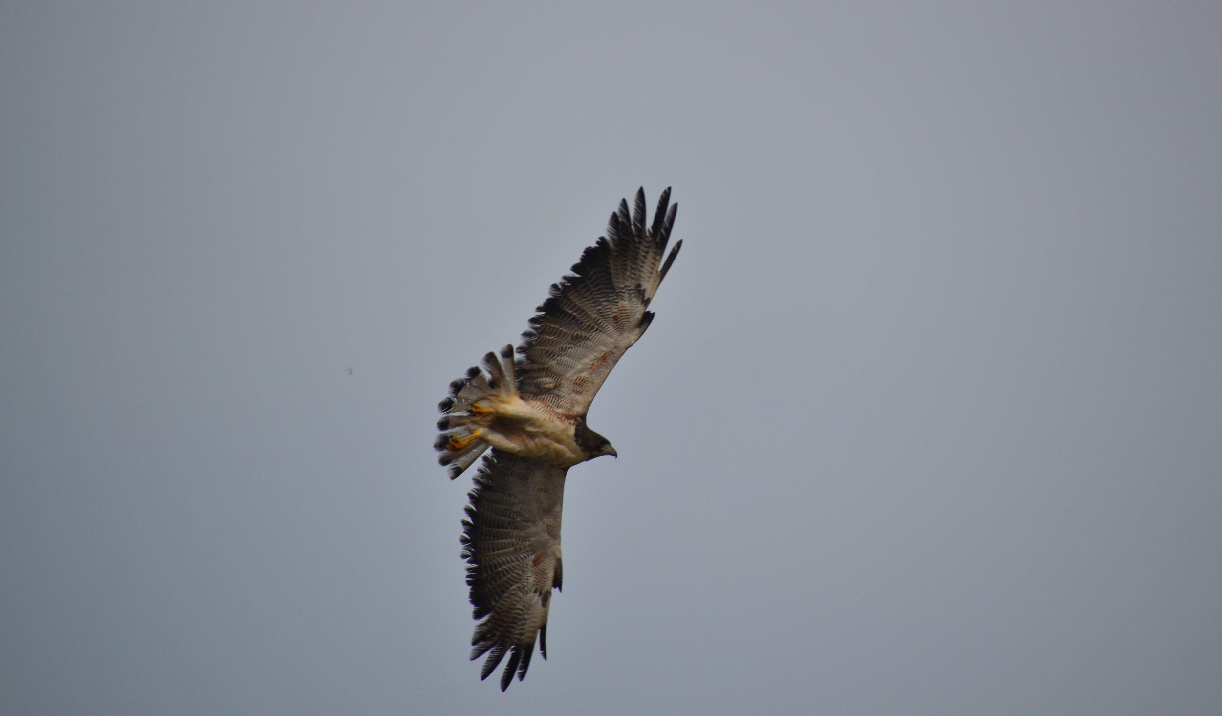 Peregrine Falcon!