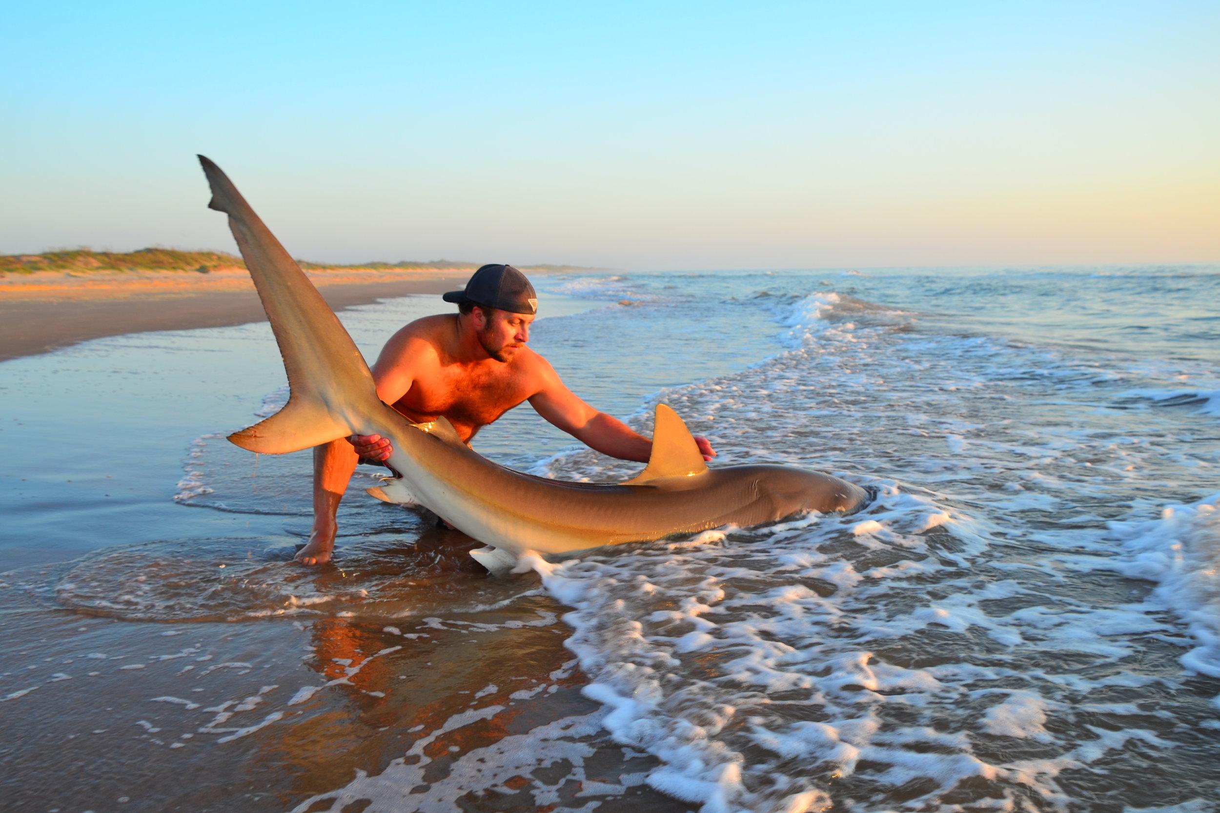 9' 2'' Dusky shark, female.