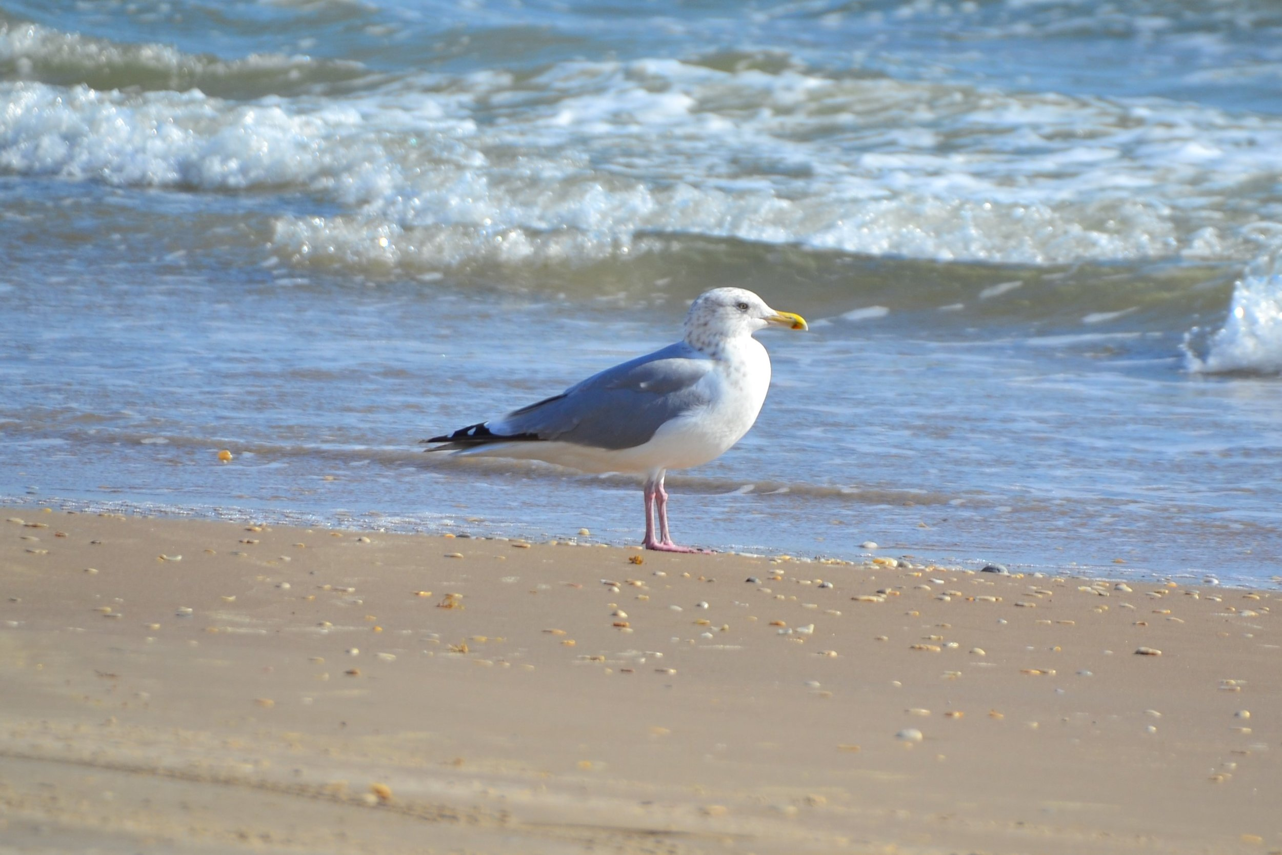 October Herring Gull