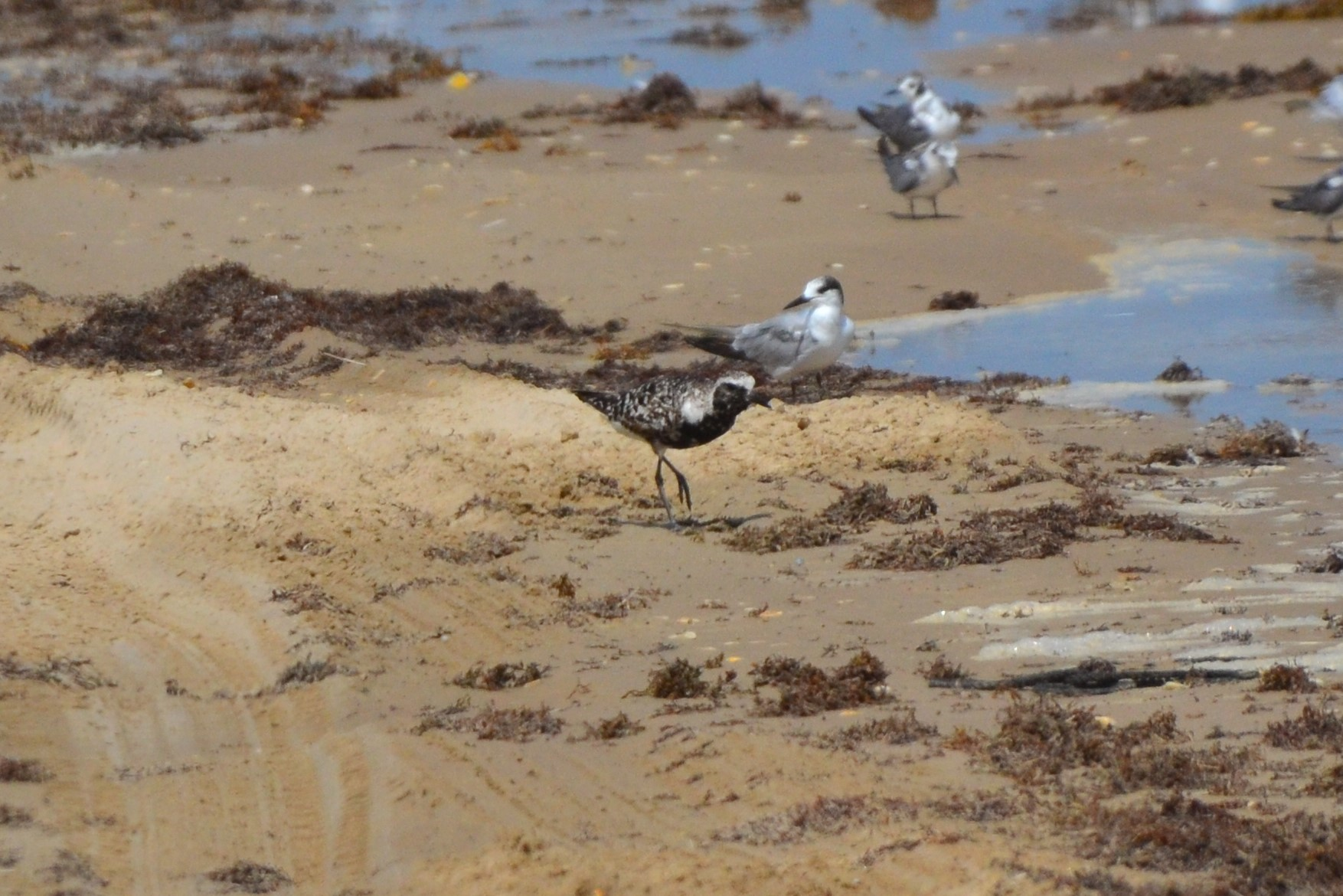 Black Bellied Plover in October