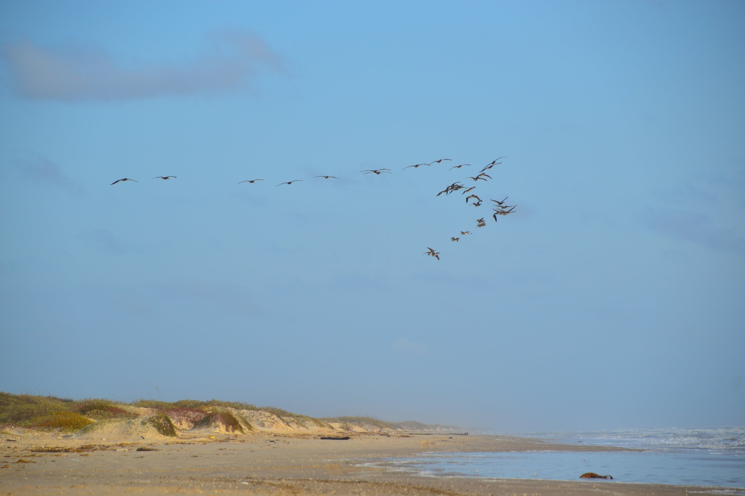 Pelicans flying south.