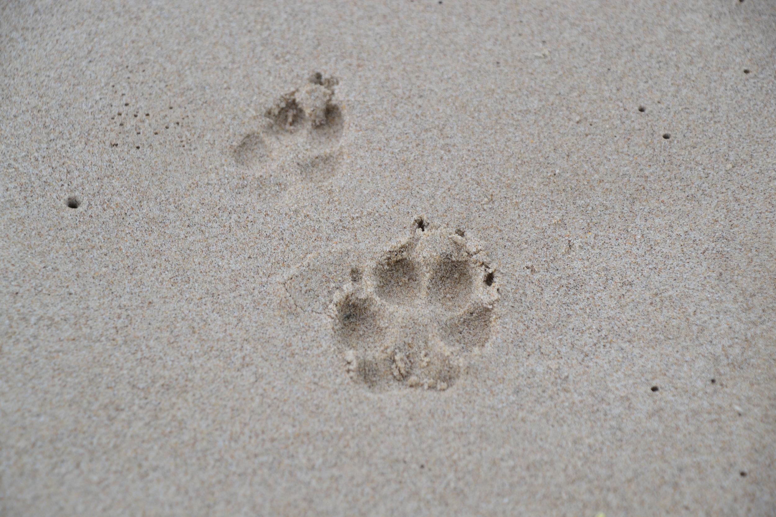 Padre Island coyotes.