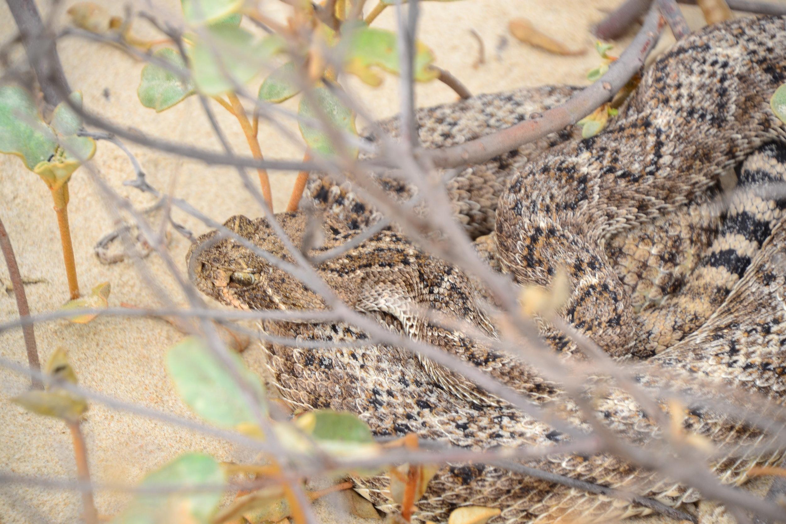 Rattlesnake in the backbeach Gulf Croton.