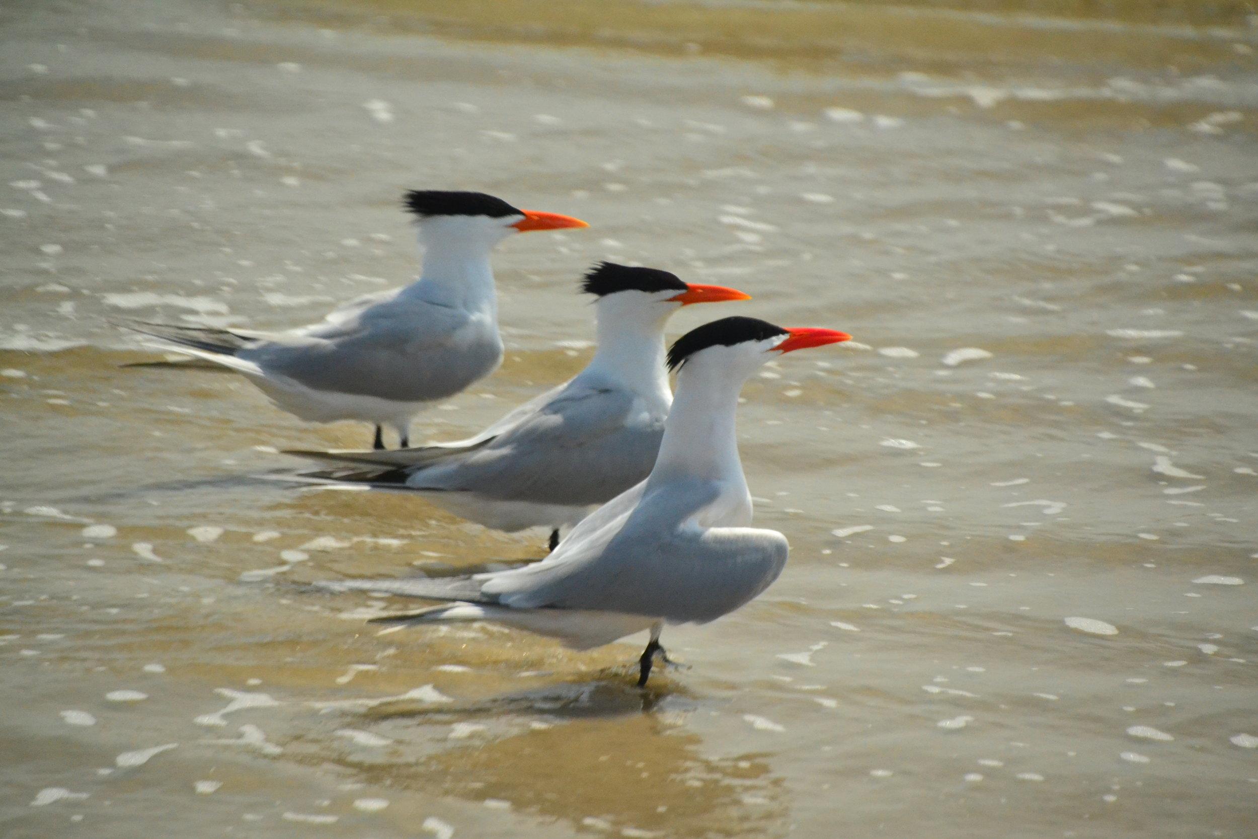 Royal Terns in breeding plumage