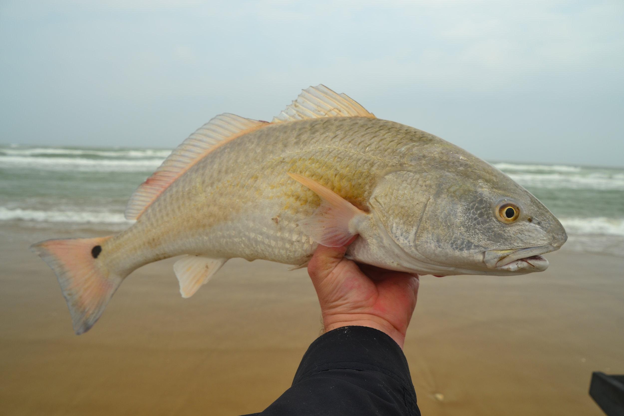 Surf redfish.